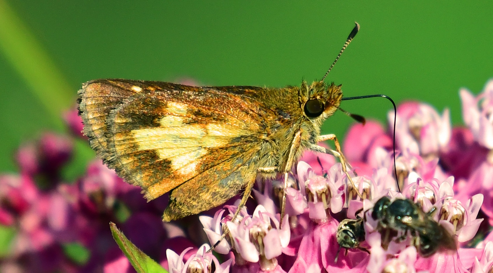 """Mothra otherwise known as most common Butterfly """"Pecks Skipper"""" by Tommy Slane"""