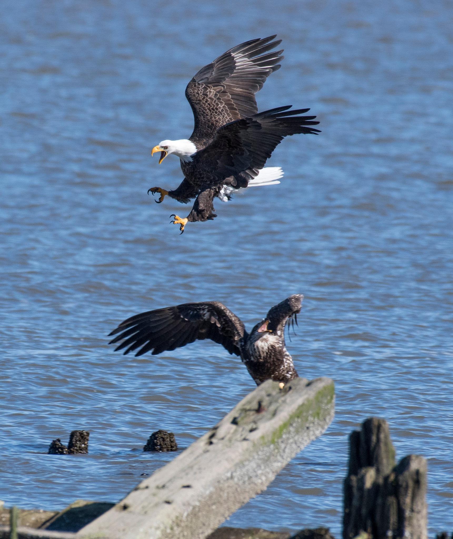 Screaming Eagle by Tommy Slane