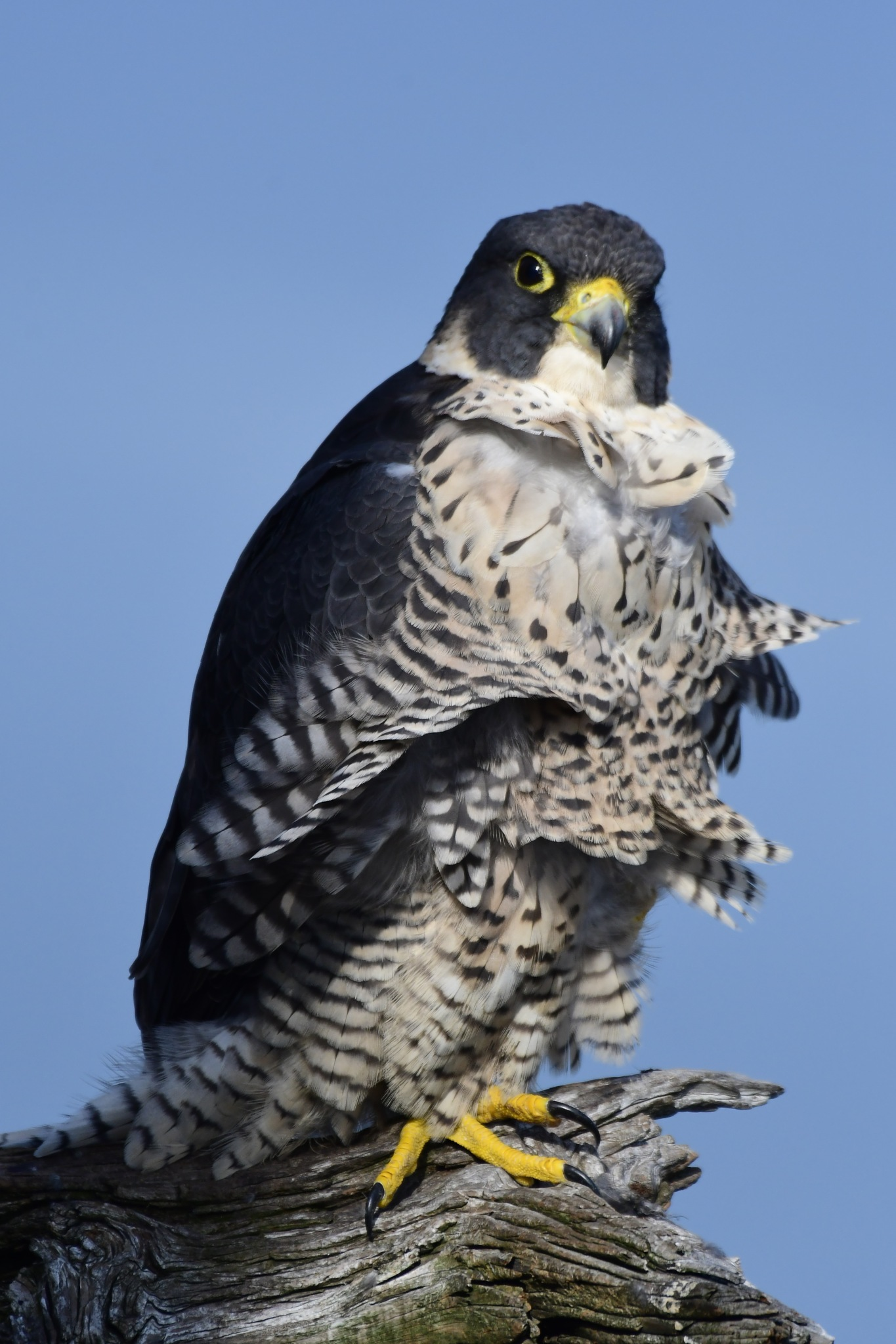 Peregrine Falcon in the wind by Tommy Slane