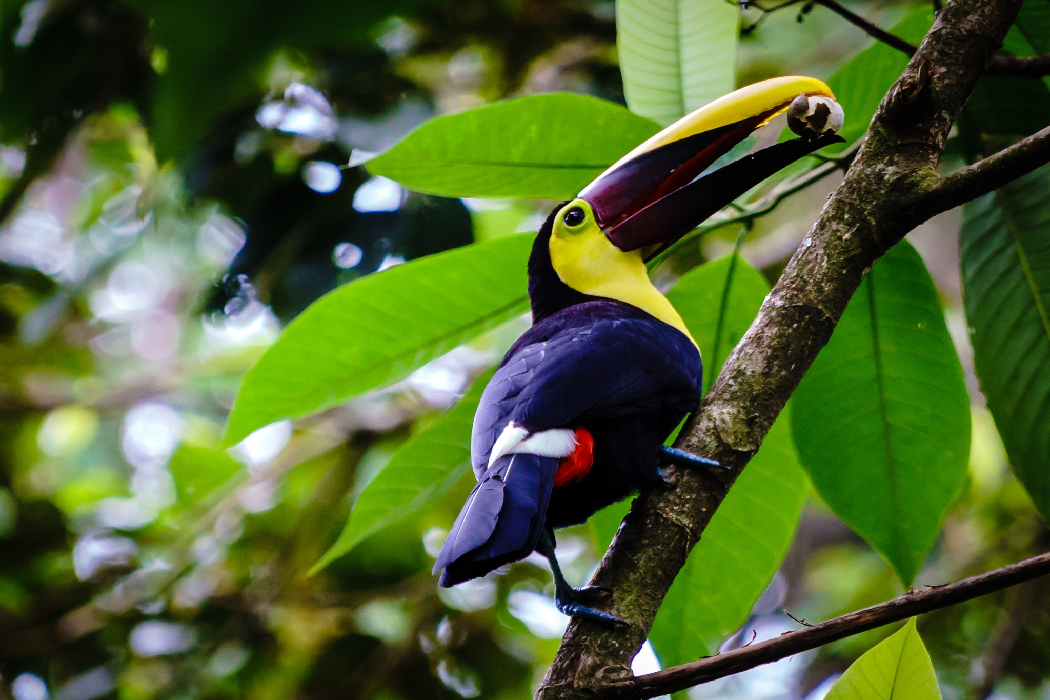 Toucan, Veragua Rainforest, Costa Rica by Andreas Mariotti