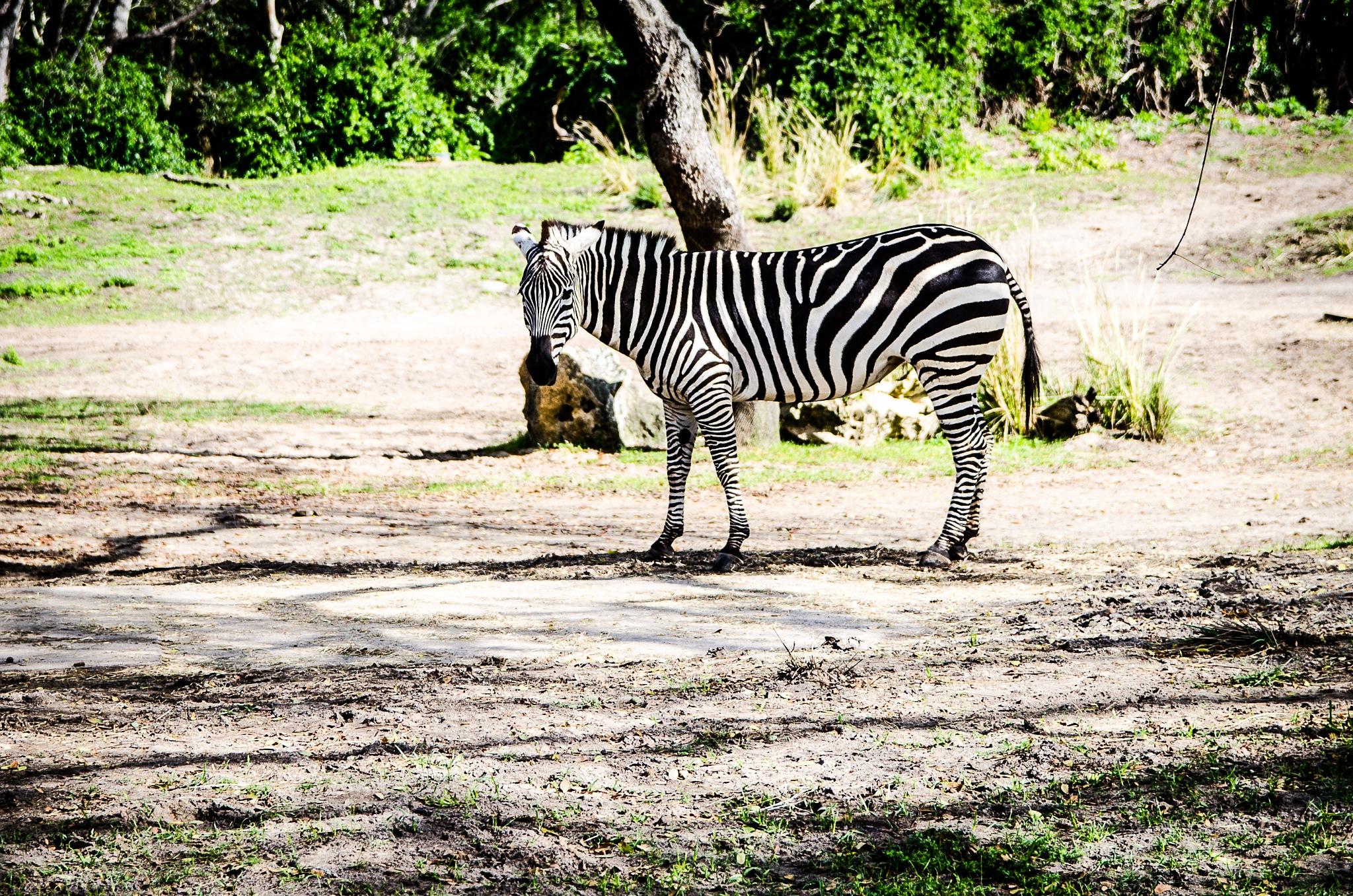 Zebra by Derek Pogue