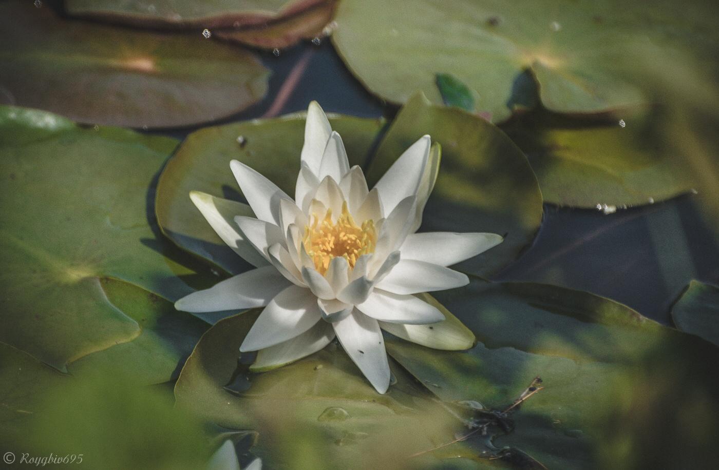 Lily pond  by Roygbiv695