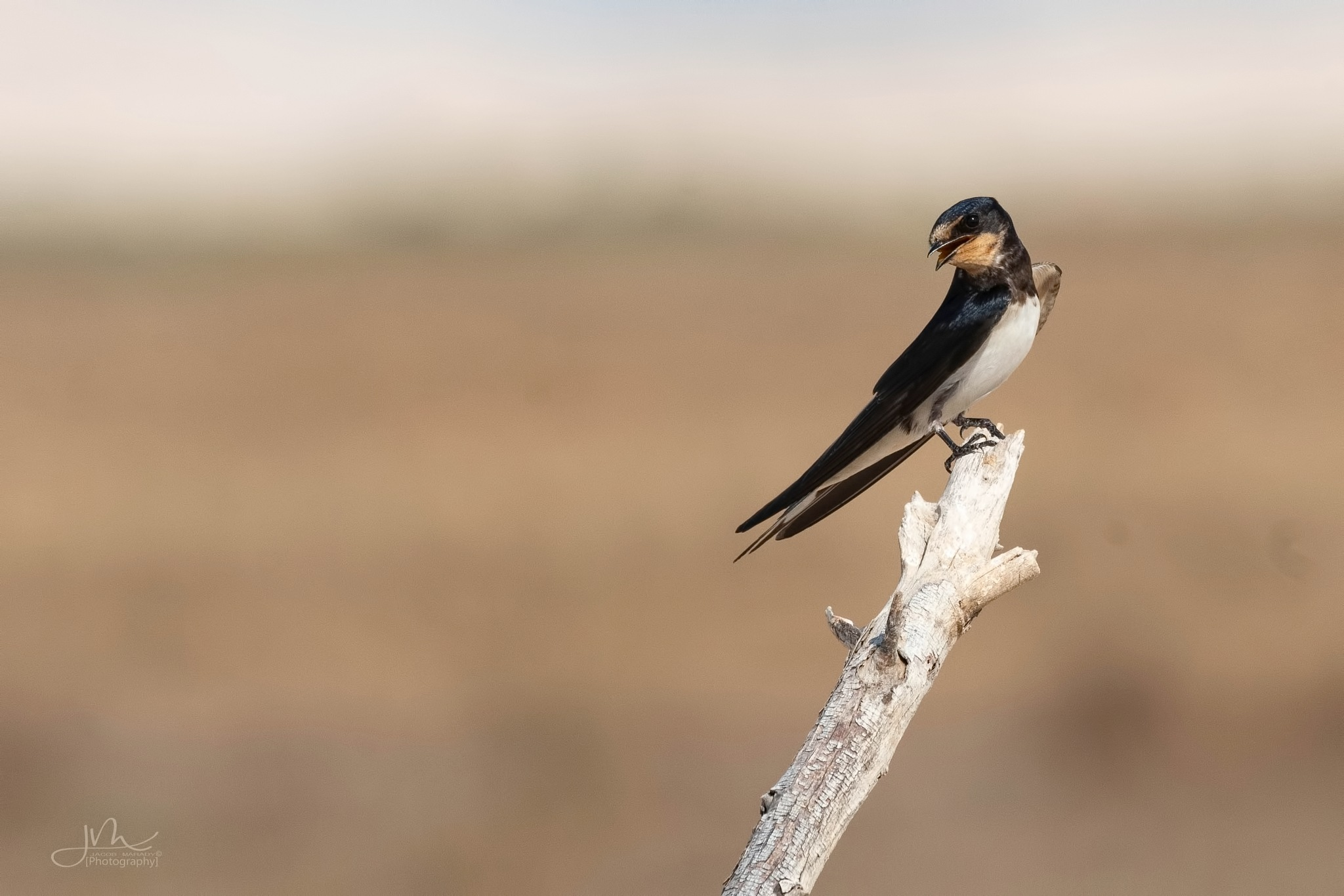 Barn-swallow by Jacobmarady