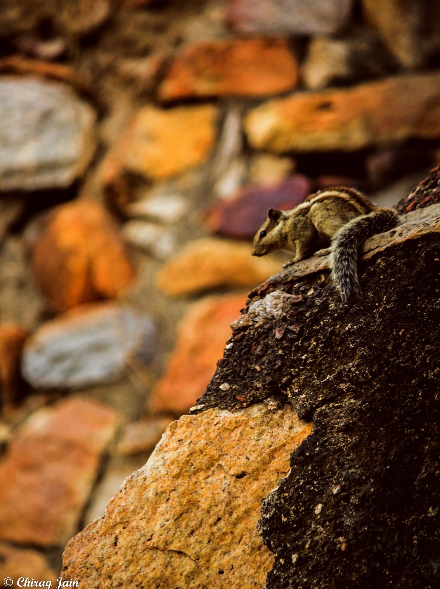 Squirrel  by Chirag Jain