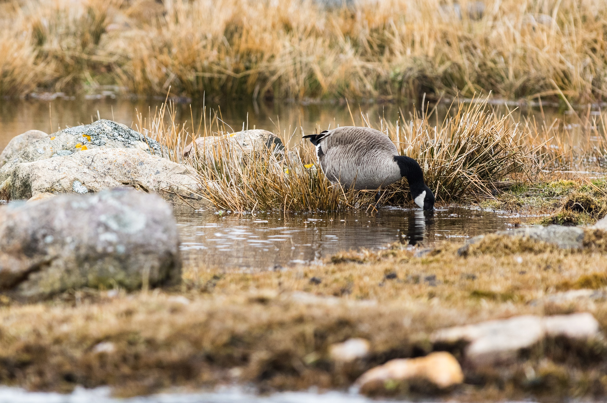Canadian goose. by DamienMartin