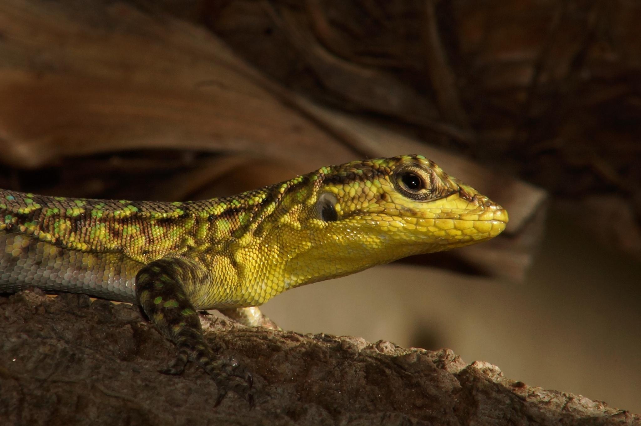 lizard 2 by incaptus331173264