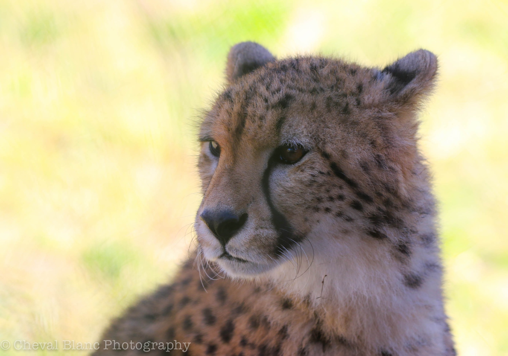 lioness by Scott Doner