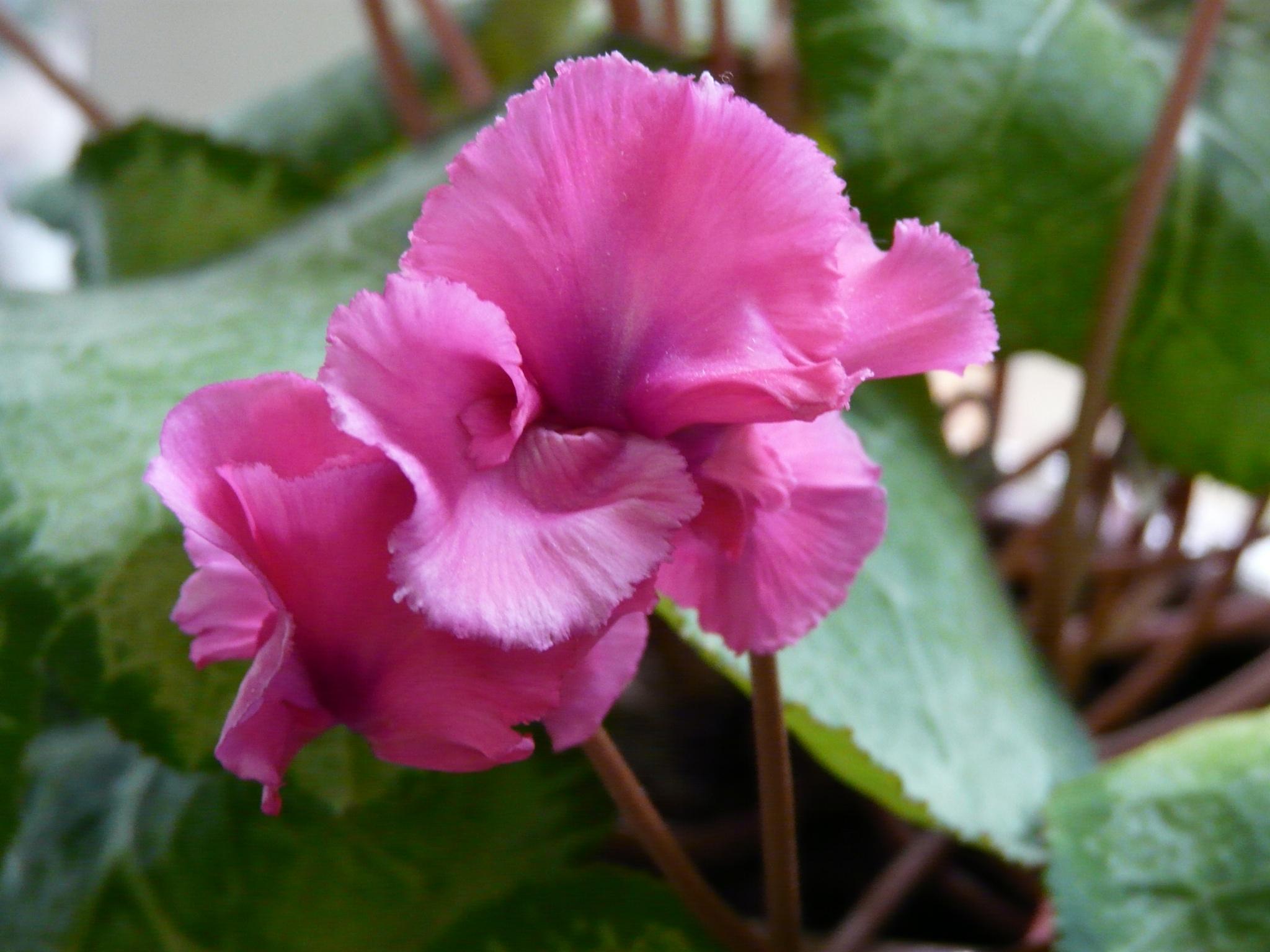 Cyclamen flower by marlene burt
