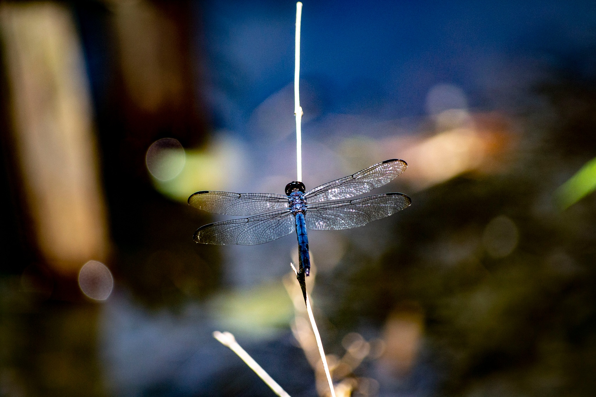 Blue Dragonfly by Carrie Cooper