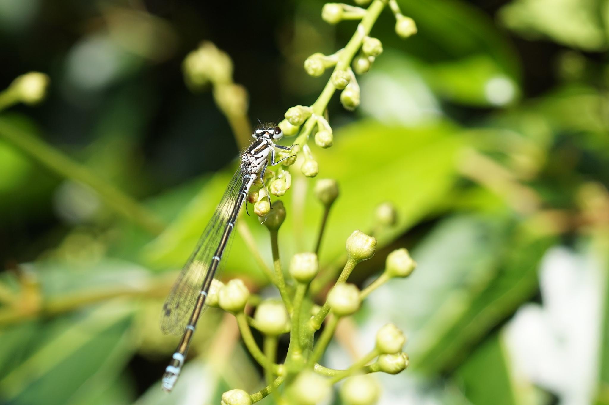 Dragonfly by HeleenvdZijden