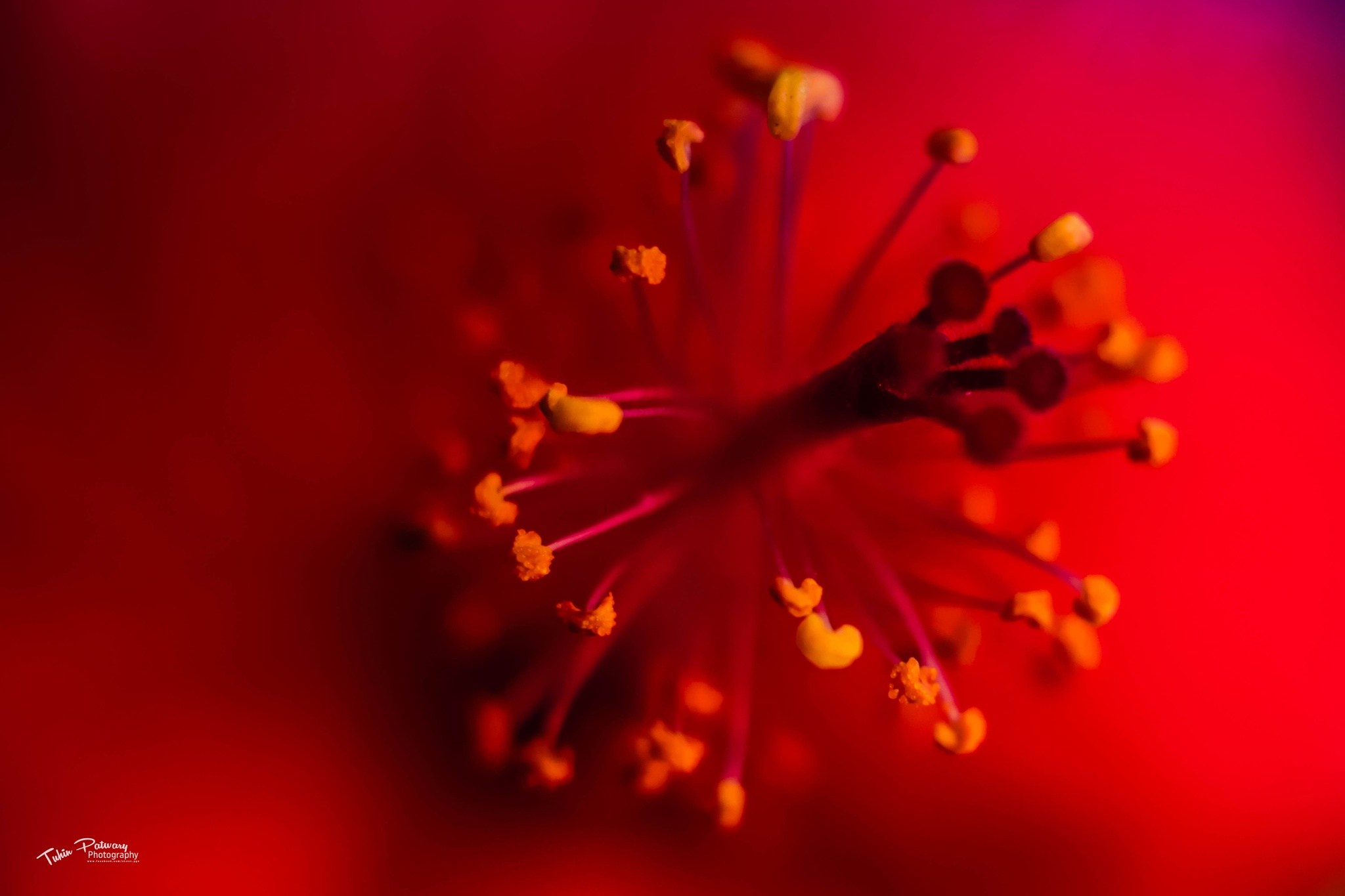 Red Hibiscus (Lal Joba) Macro by Tuhin Patwary Photography