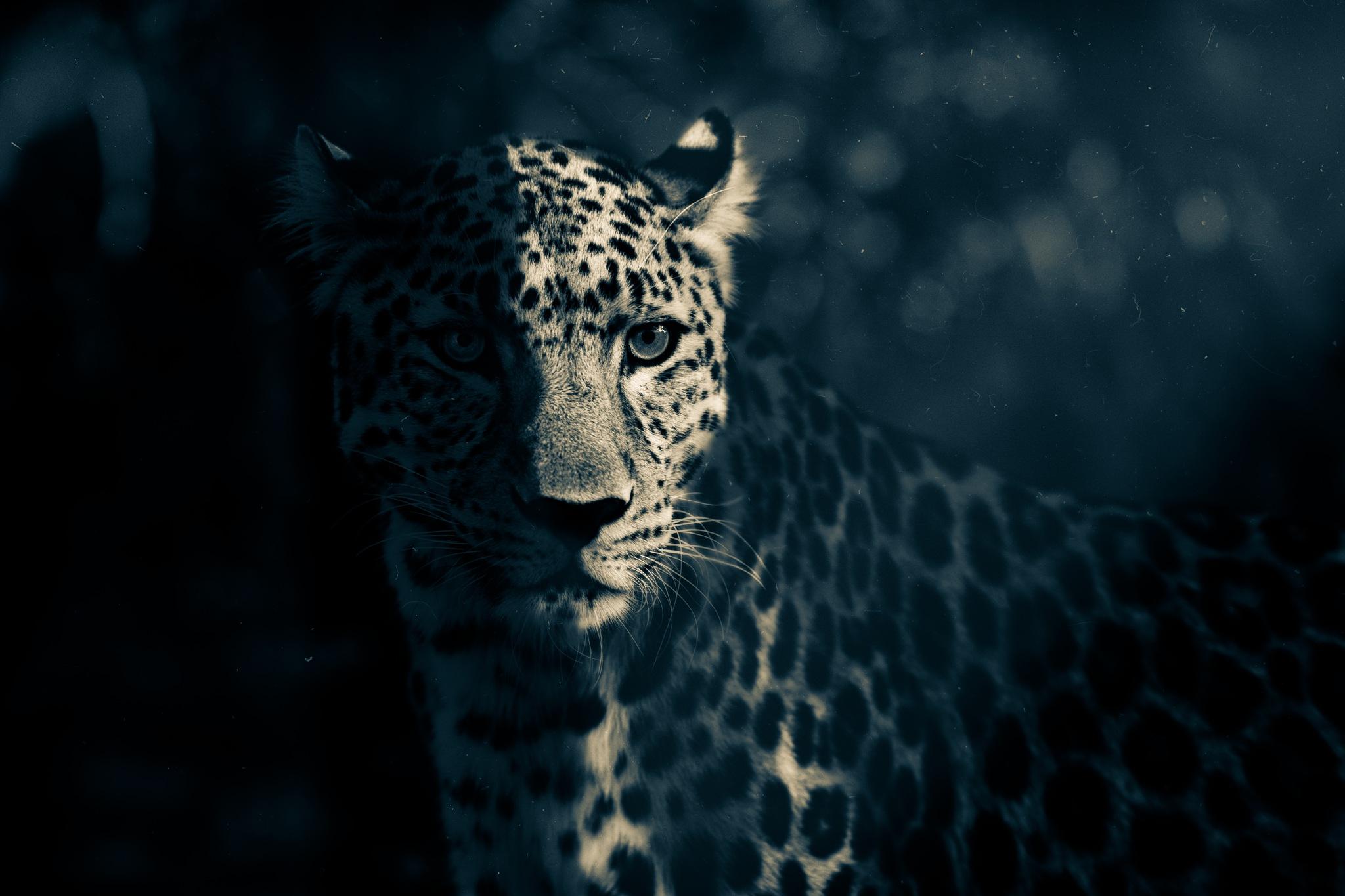 Dark Leopard by mauritz