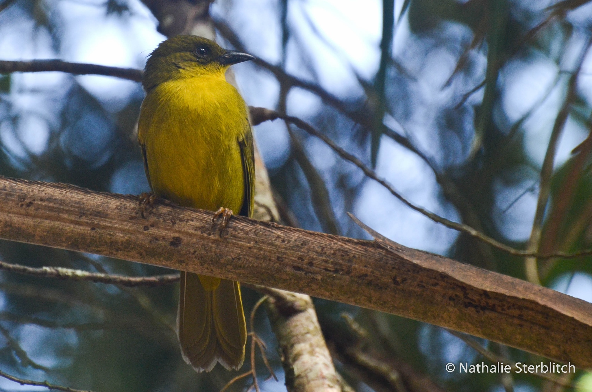 Photo in Animal #orthogonyschloricterus #catirumbava #birdwatching #brazilianbirds #observaçãodeaves #itatiaianationalpark #parquenacionaldoitatiaia #nathsterblitch #nikond5100