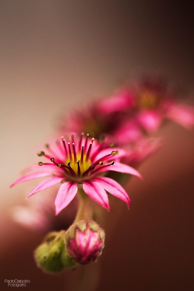 Wild pink by PaoloDalprato