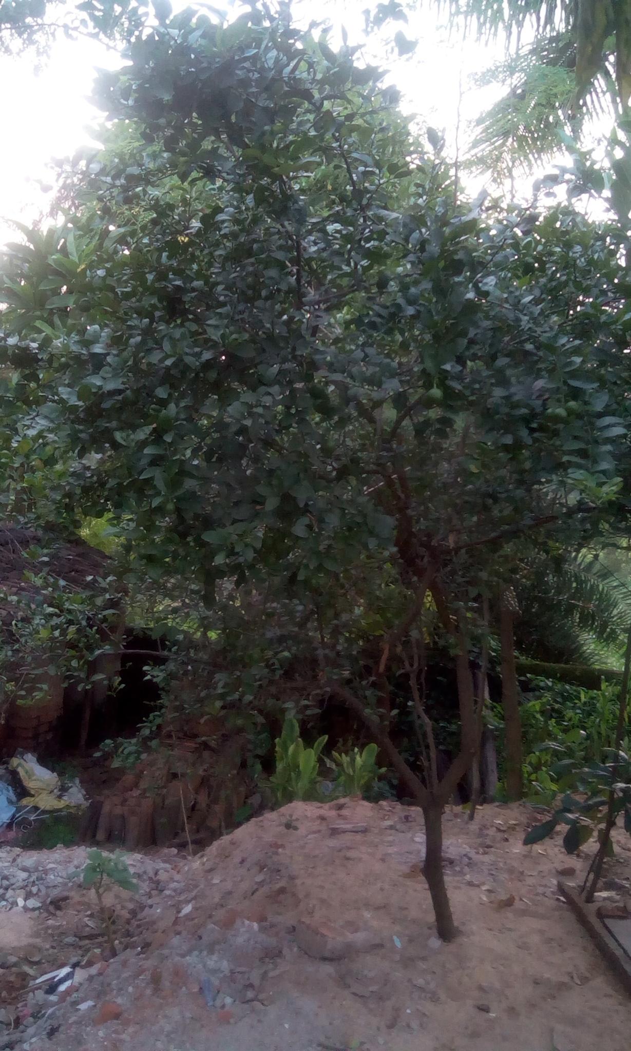 LEMON TREE by SuryaNarayan