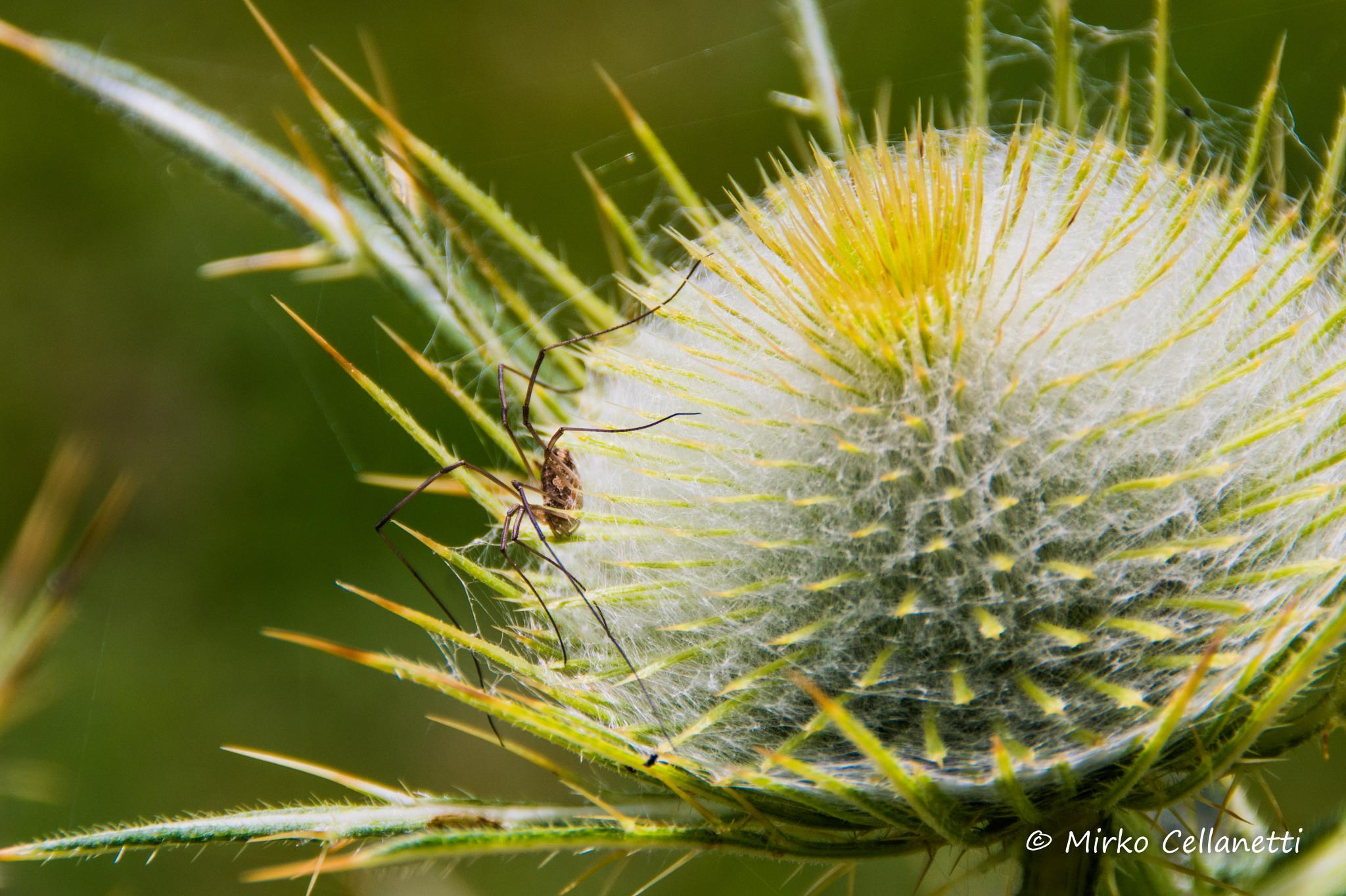 The spider on the flower by Mirko Cellanetti