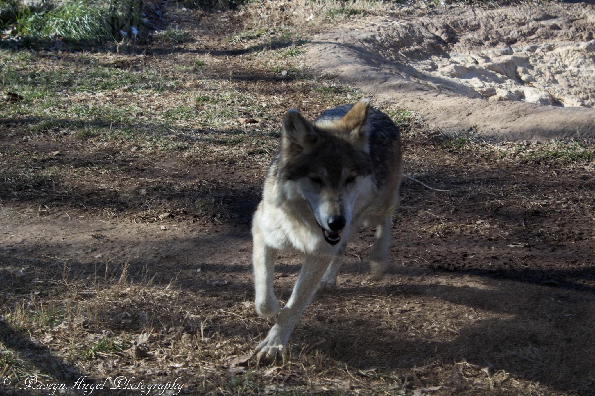 Mexican Wolf by RaveynAngel