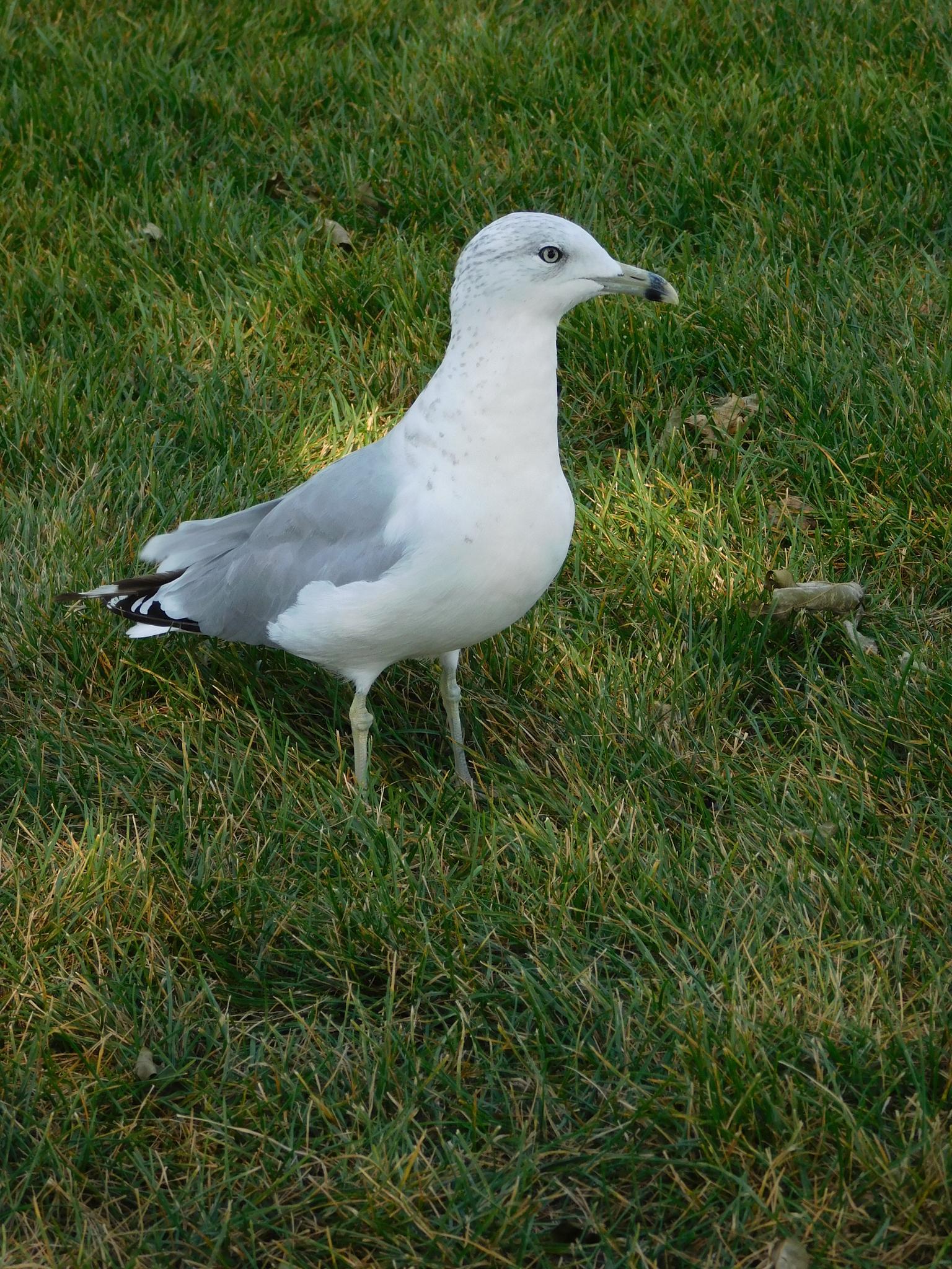 Seagull by Mara Lynn Plumpton