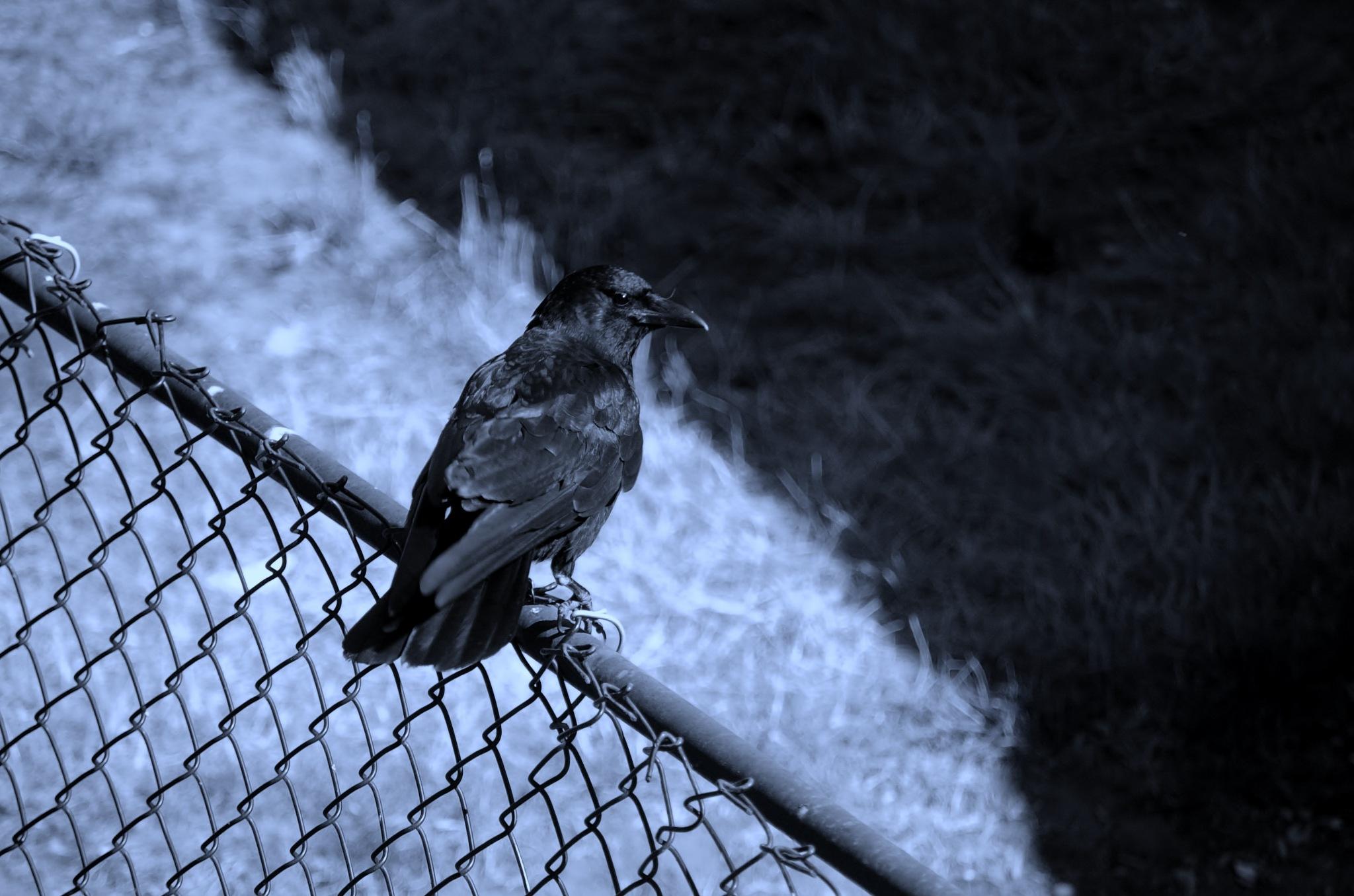 resting on a fence  by Paul Tetloff