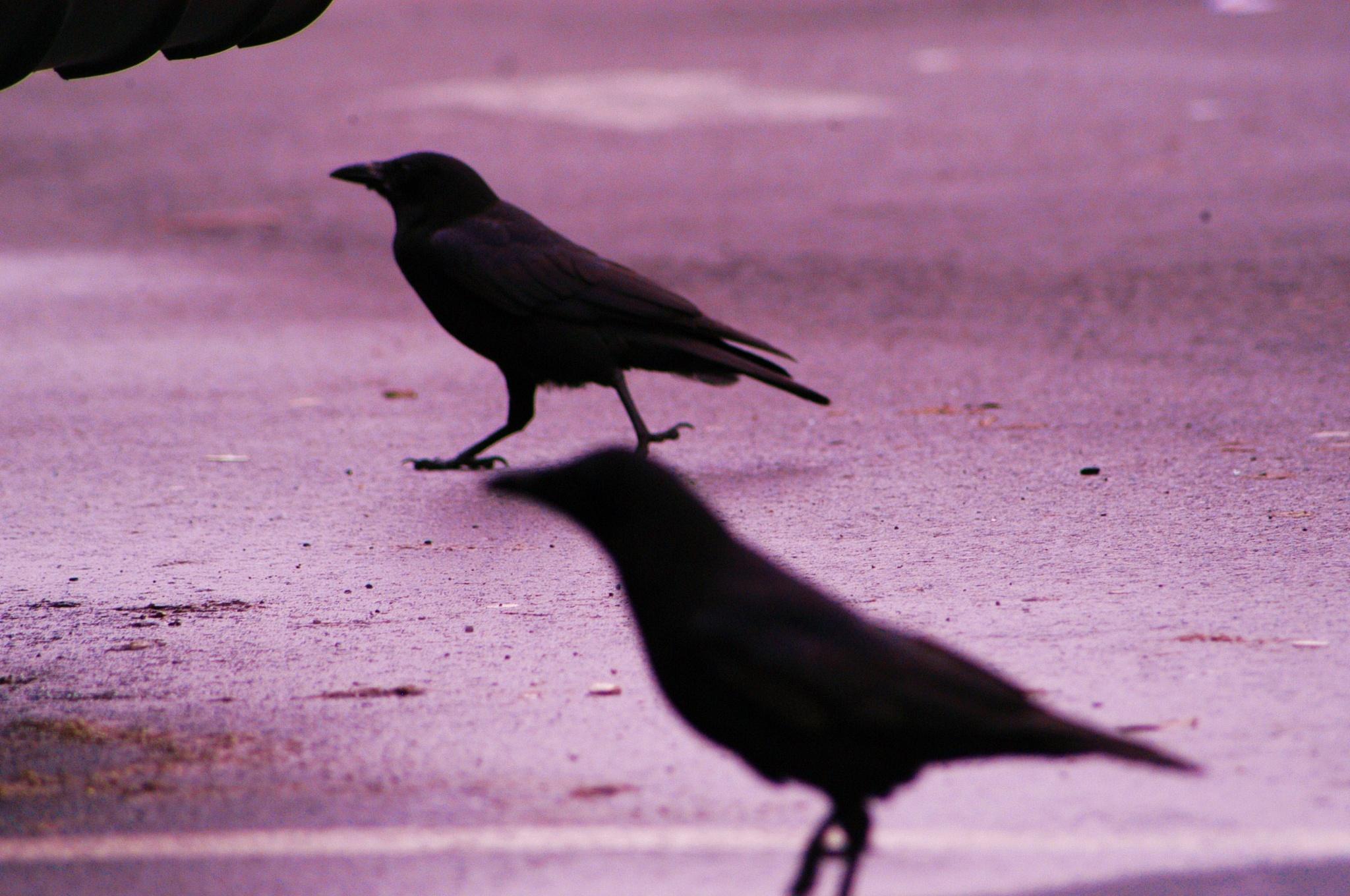 crows by Paul Tetloff