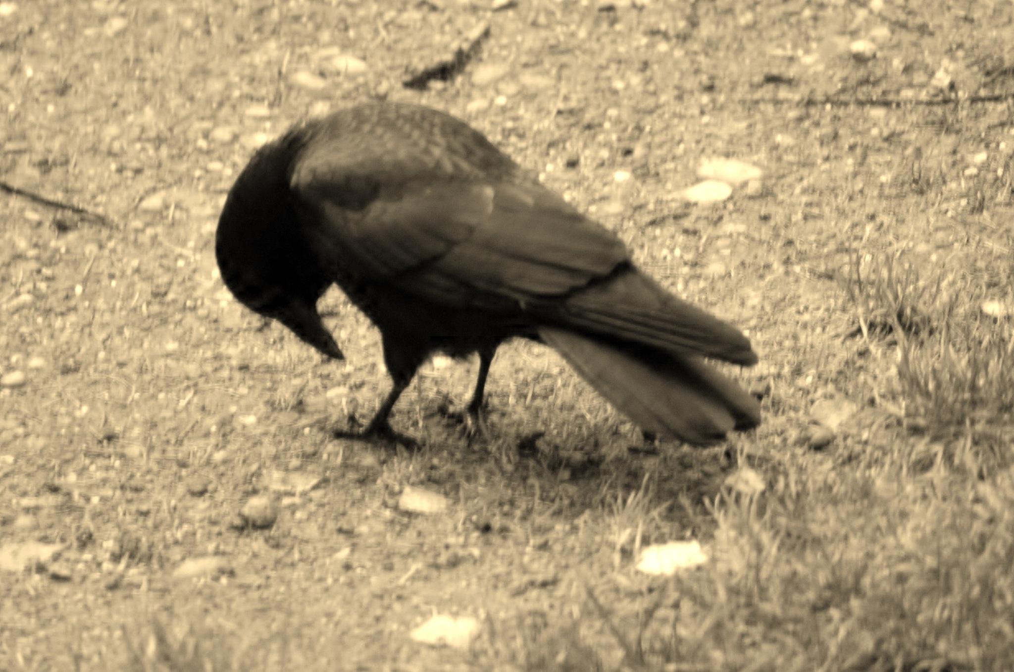crow in yellow by Paul Tetloff