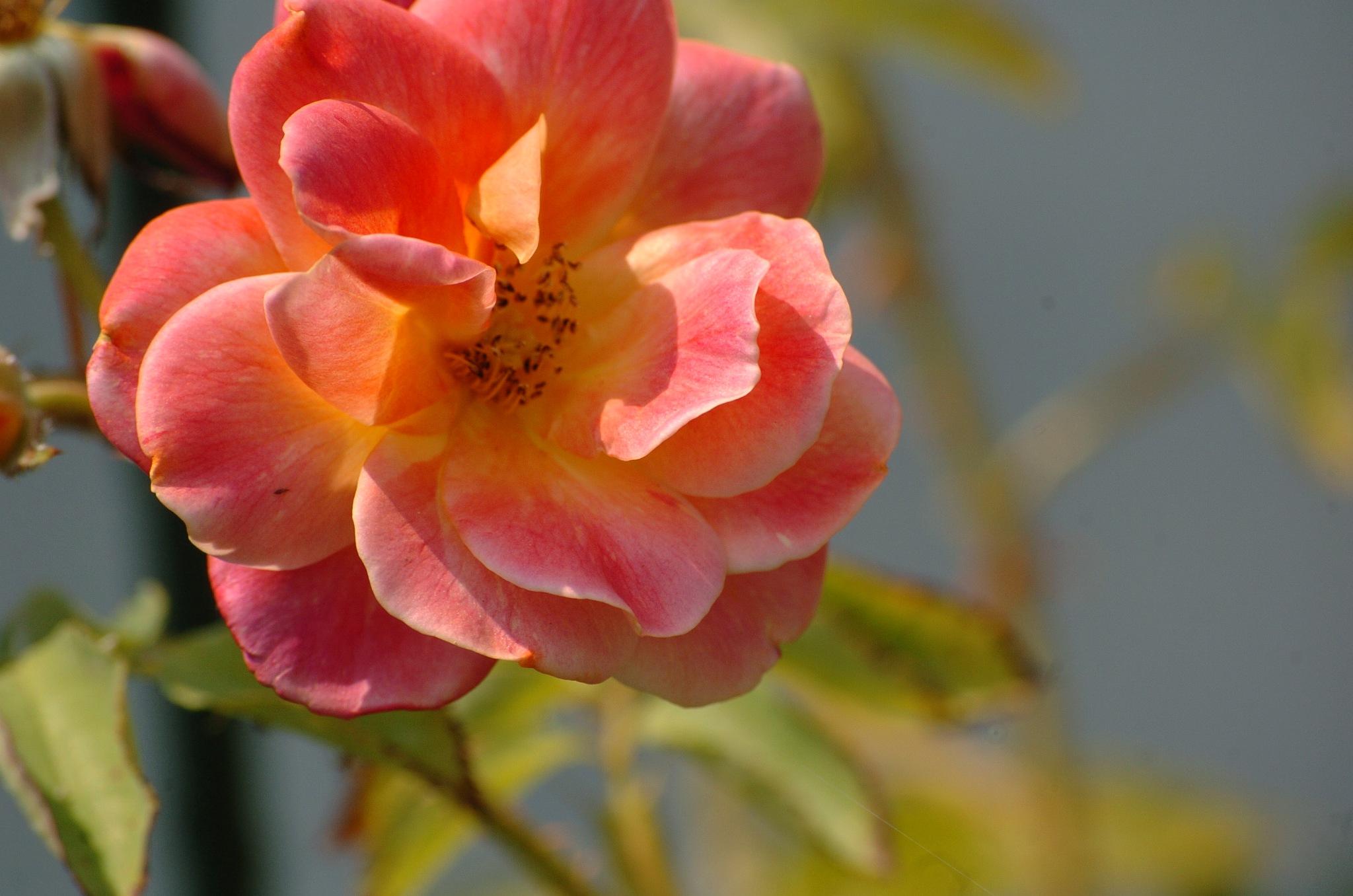 second blooming  by Paul Tetloff