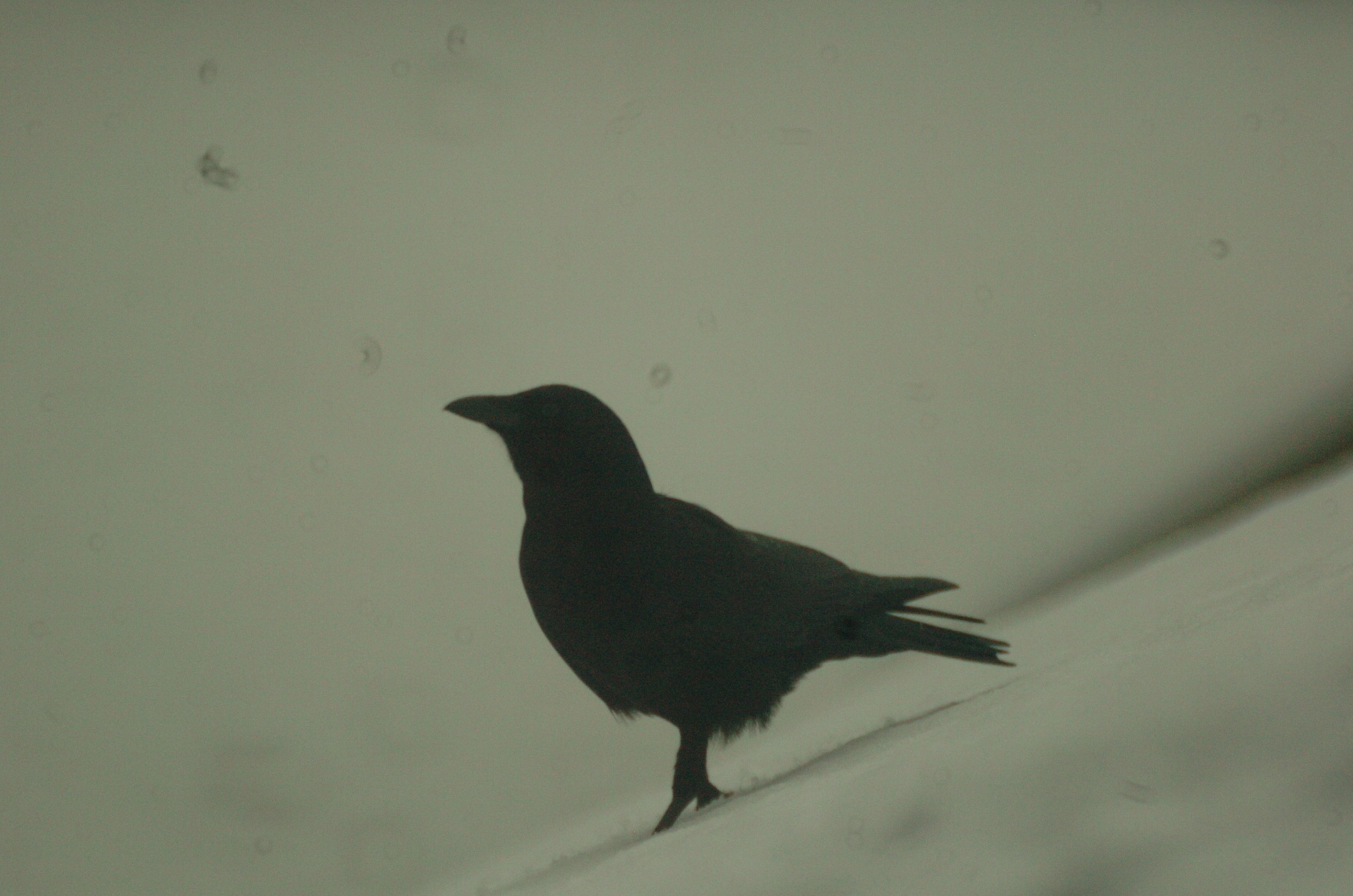 crow by Paul Tetloff