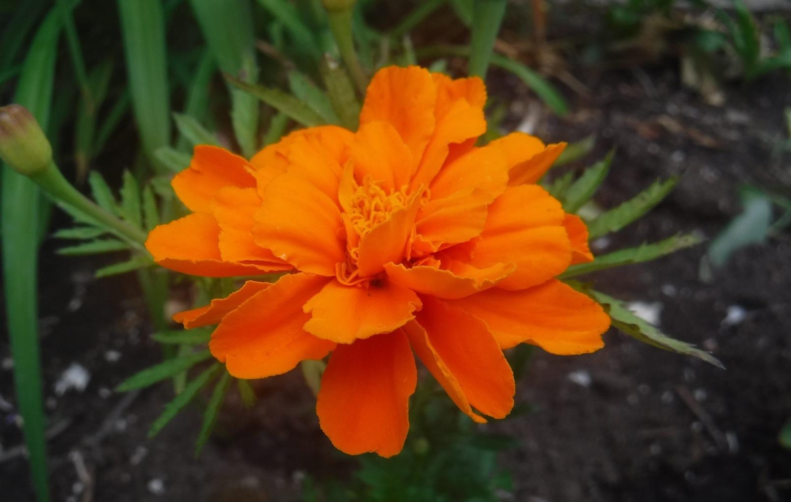 Magnificent Marigold Orange by sllennips