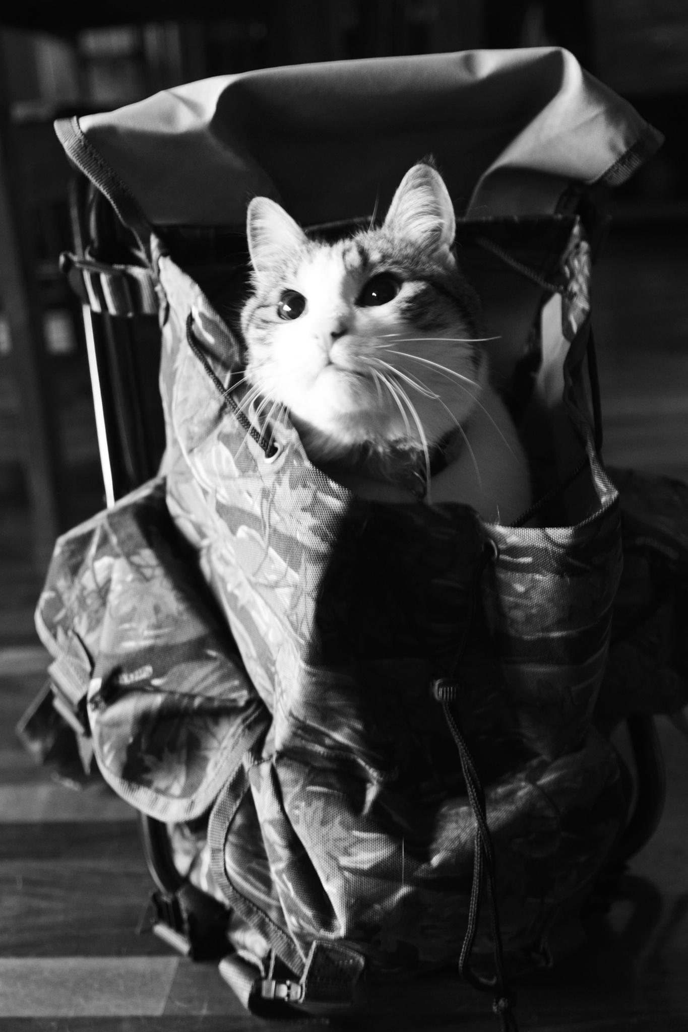 Militar Cat by David H.Rizzi Bucher