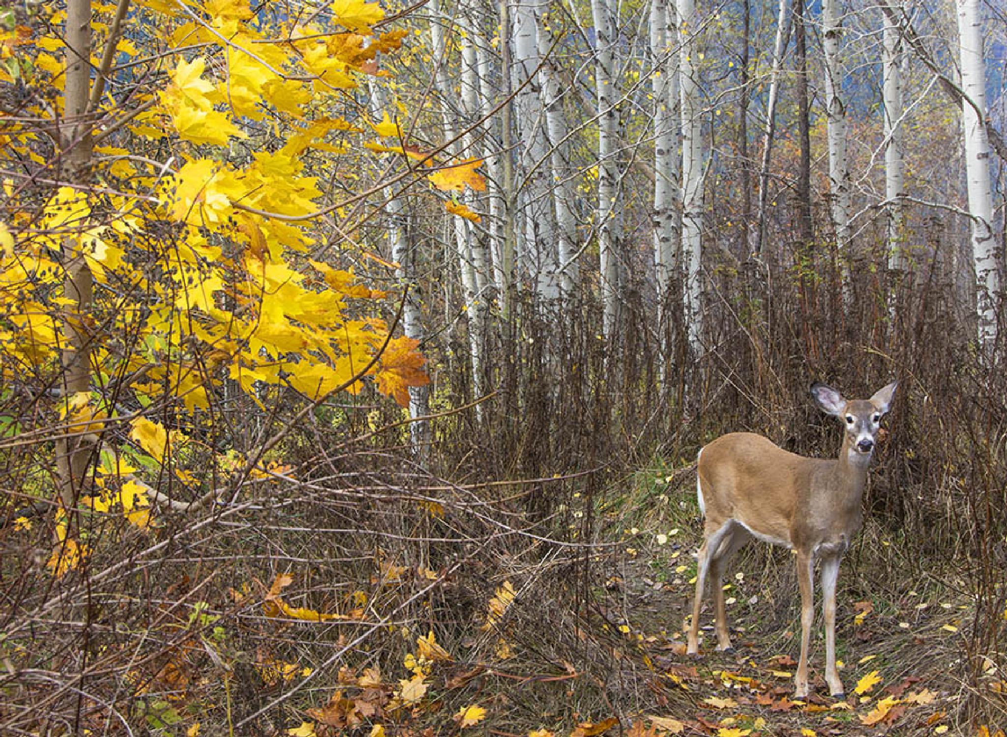 Deer posing by MadeleineGuenette