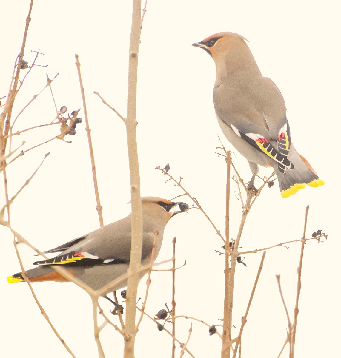 Bohemian waxwing by MadeleineGuenette