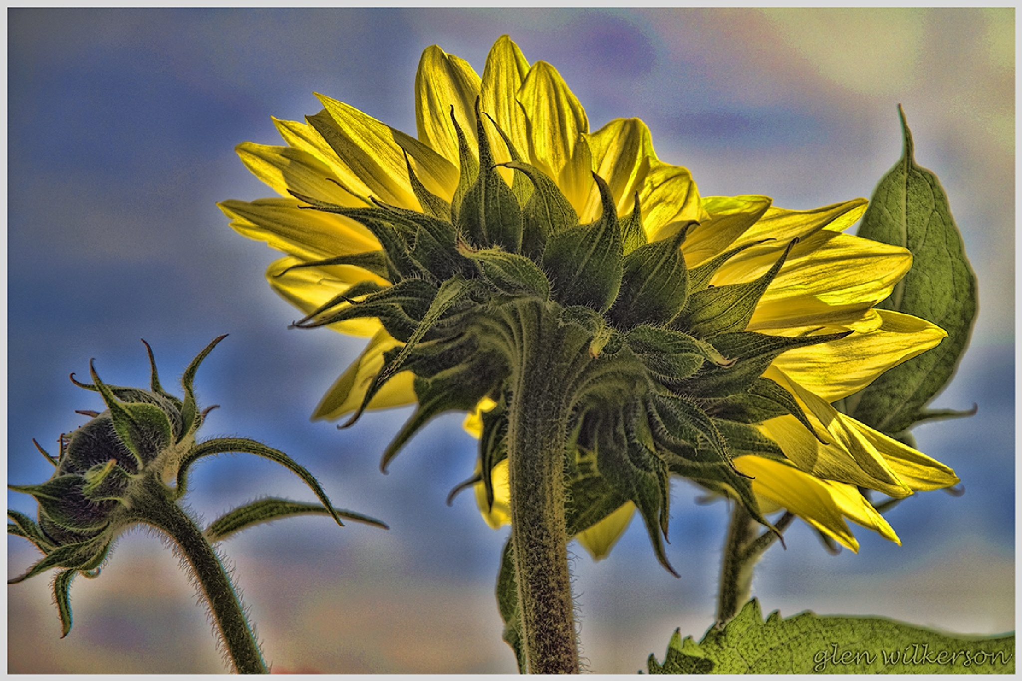 Sunflower by Glen Wilkerson