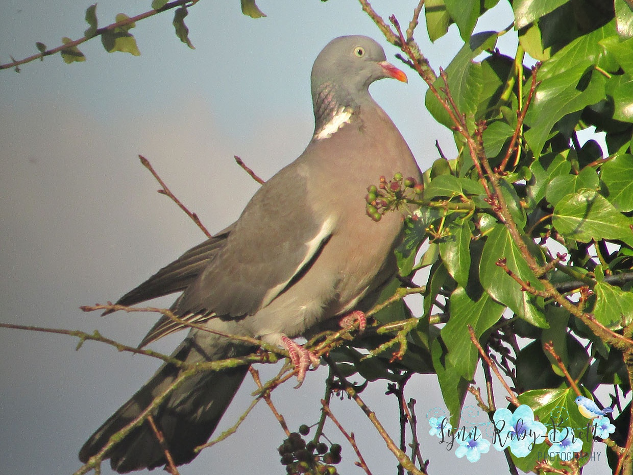 Wood Pigeon by Happy Snapper