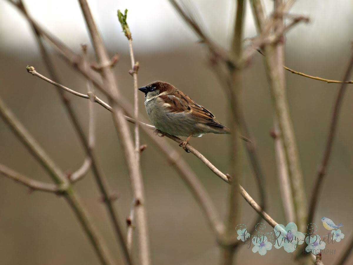 House Sparrow by Happy Snapper