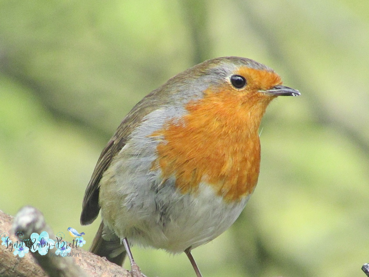 Sad is a garden without a Robin by Happy Snapper