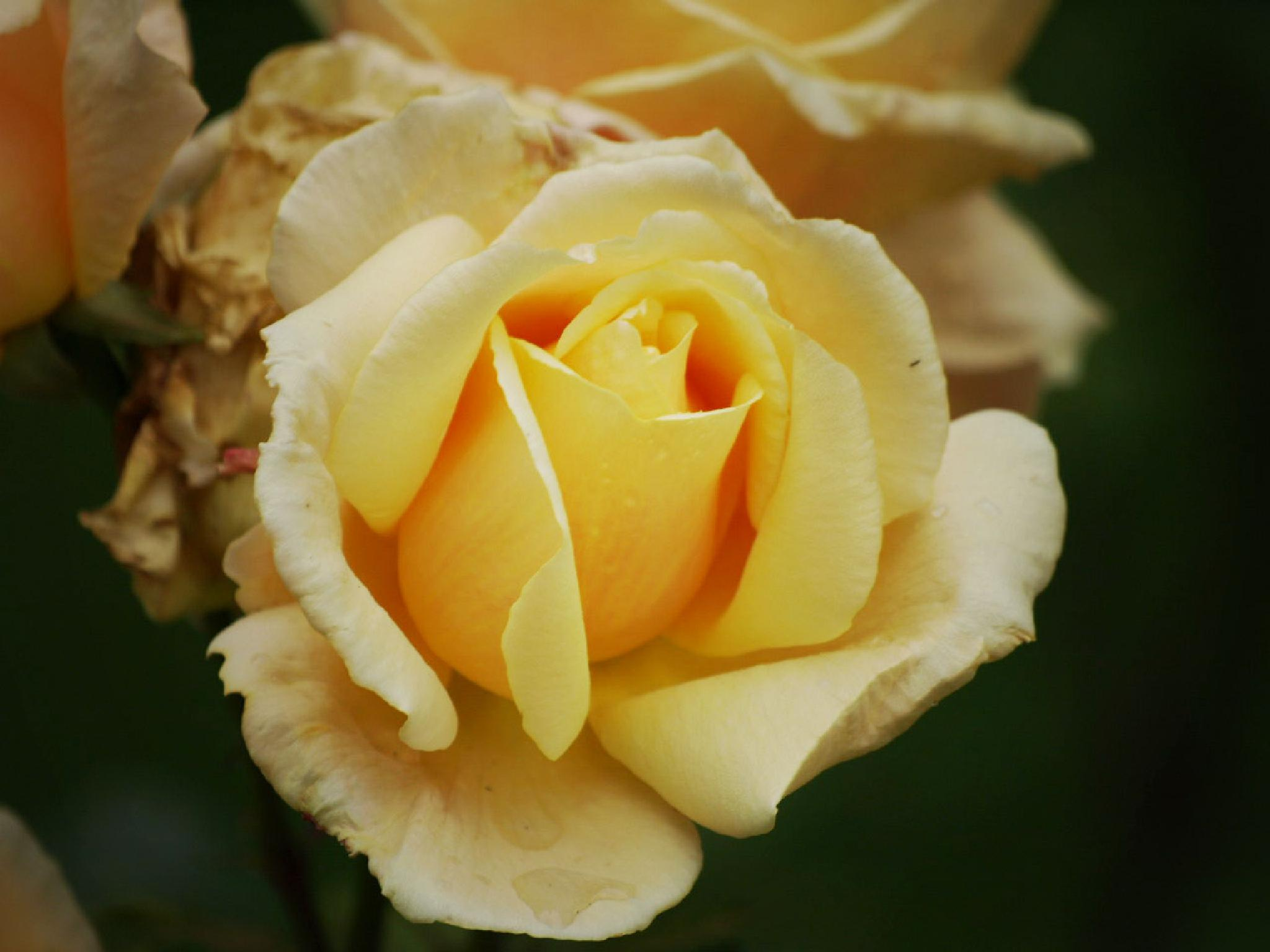 Yellow rose by Happy Snapper