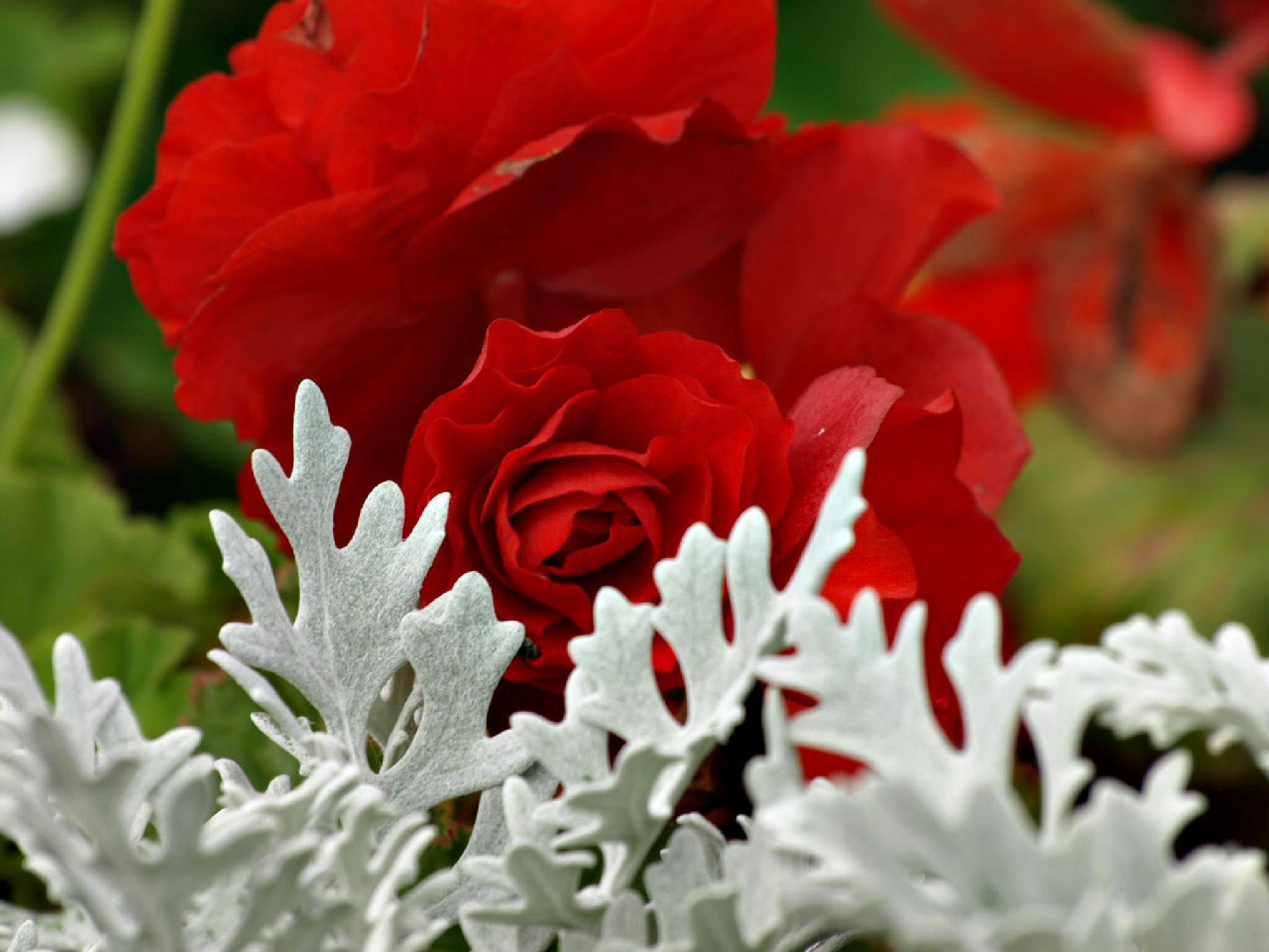 Red v White by Happy Snapper