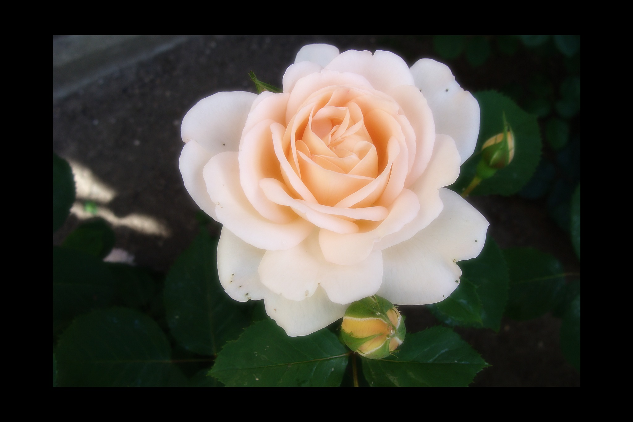 afternoon rose by Terry Dunn