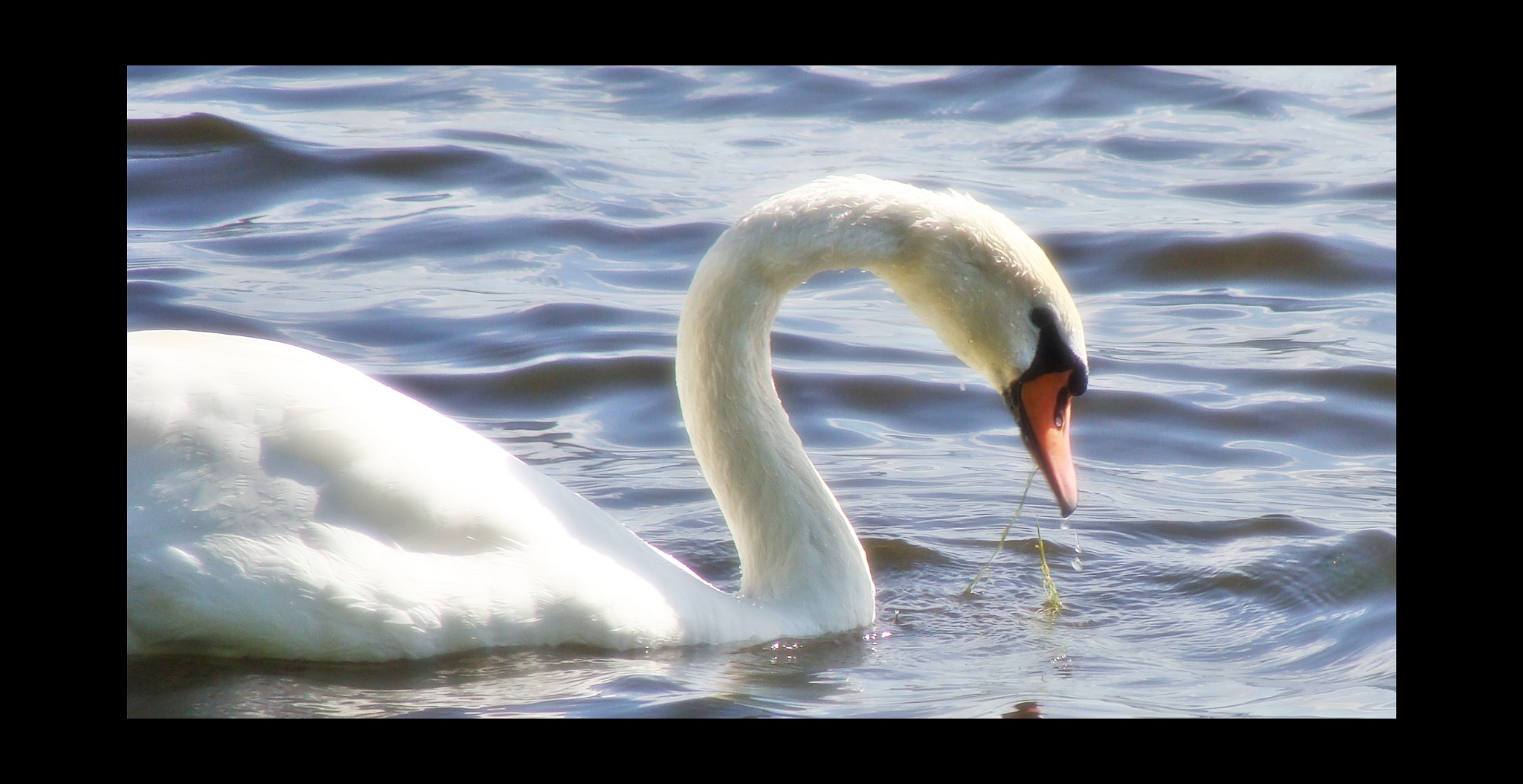 swan by Terry Dunn