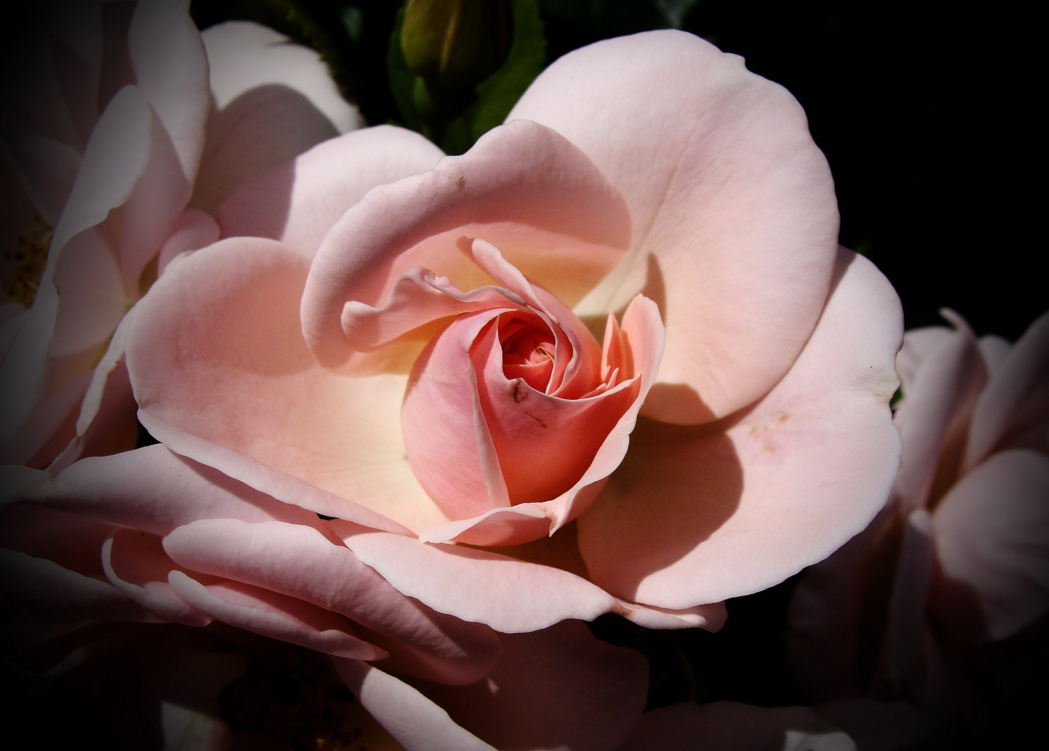 pink rose by Terry Dunn