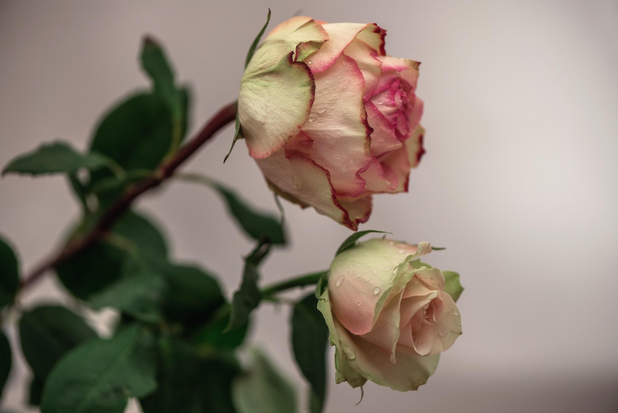 Rose by annasimb