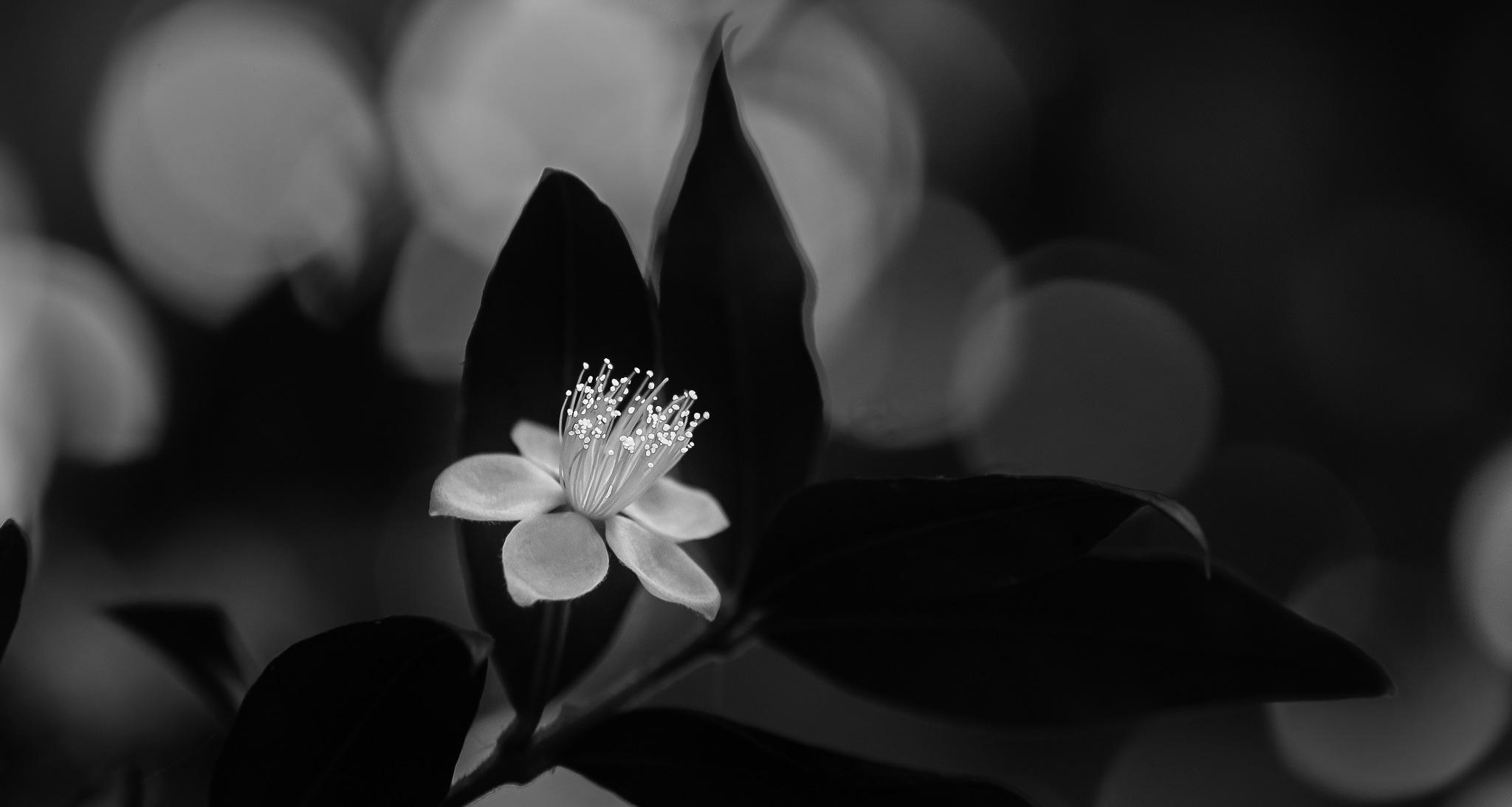 I see it so ... myrtle flower. by annasimb