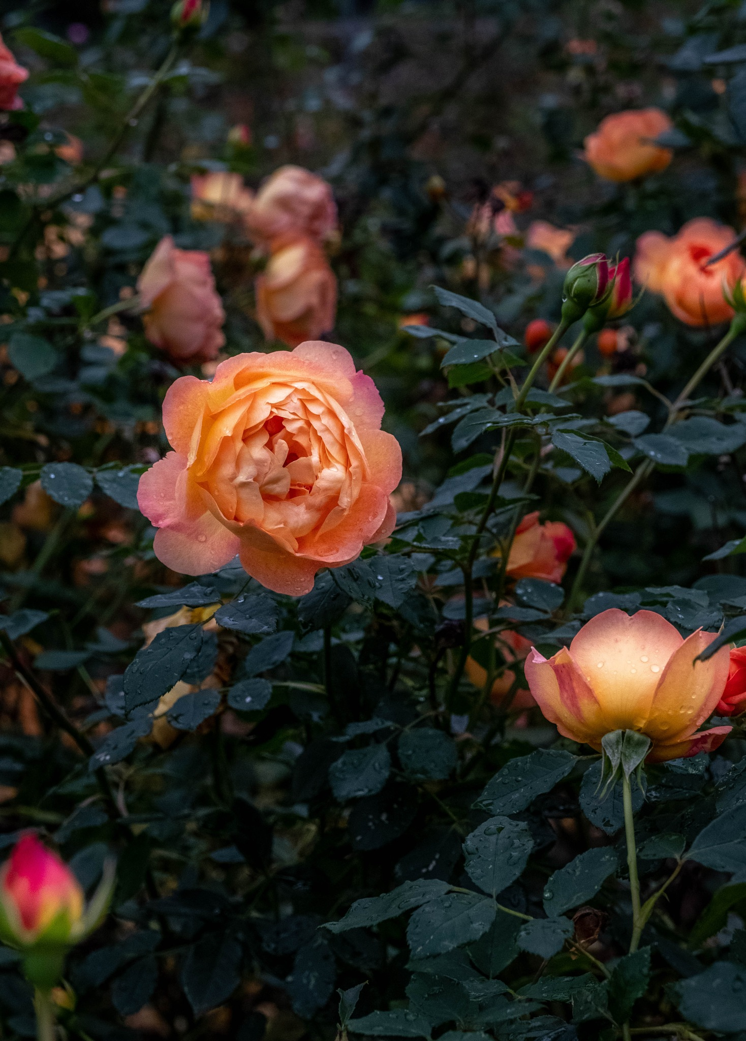 Roses 2 by Barry