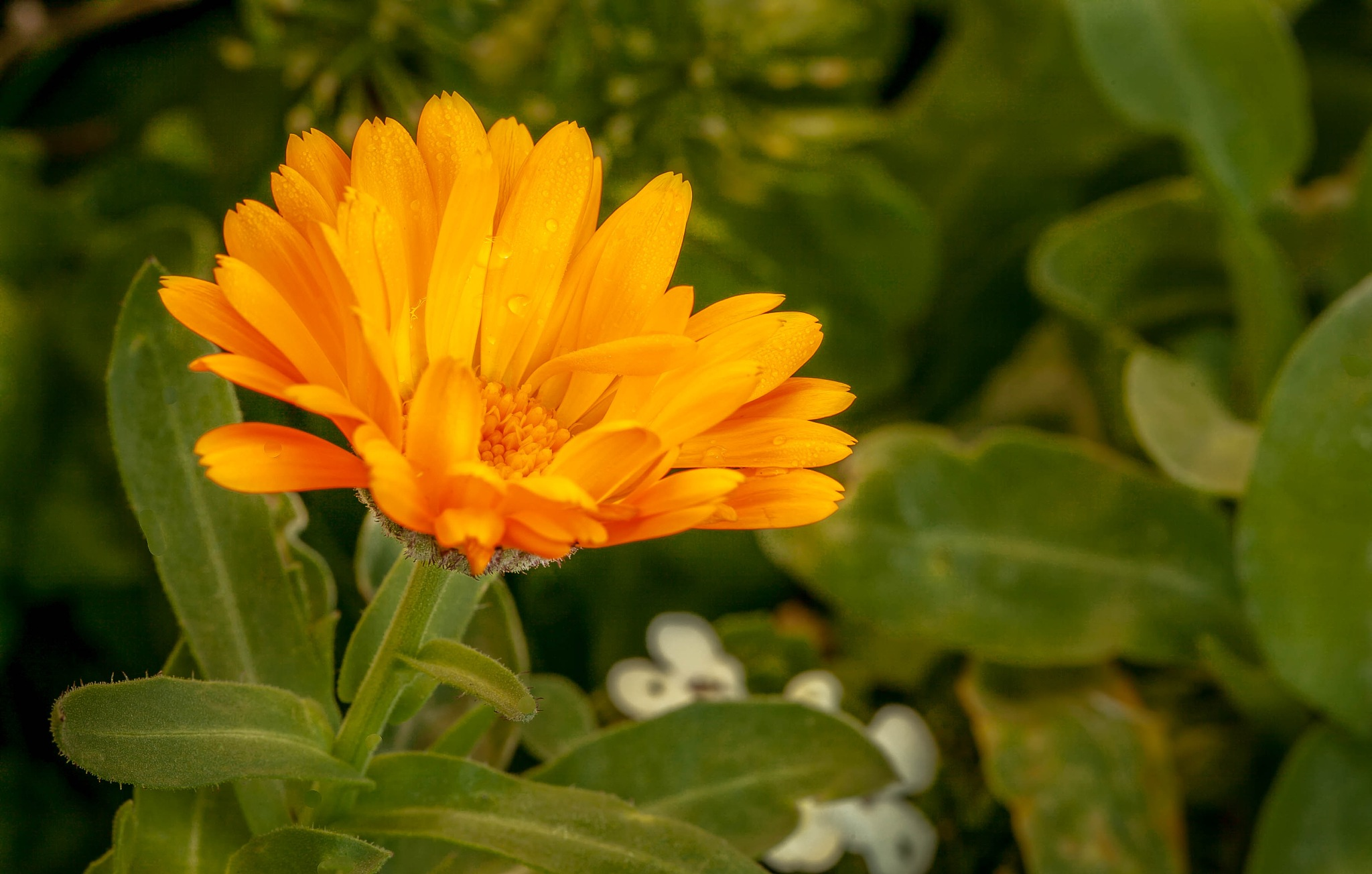 Marigold Flower by Barry
