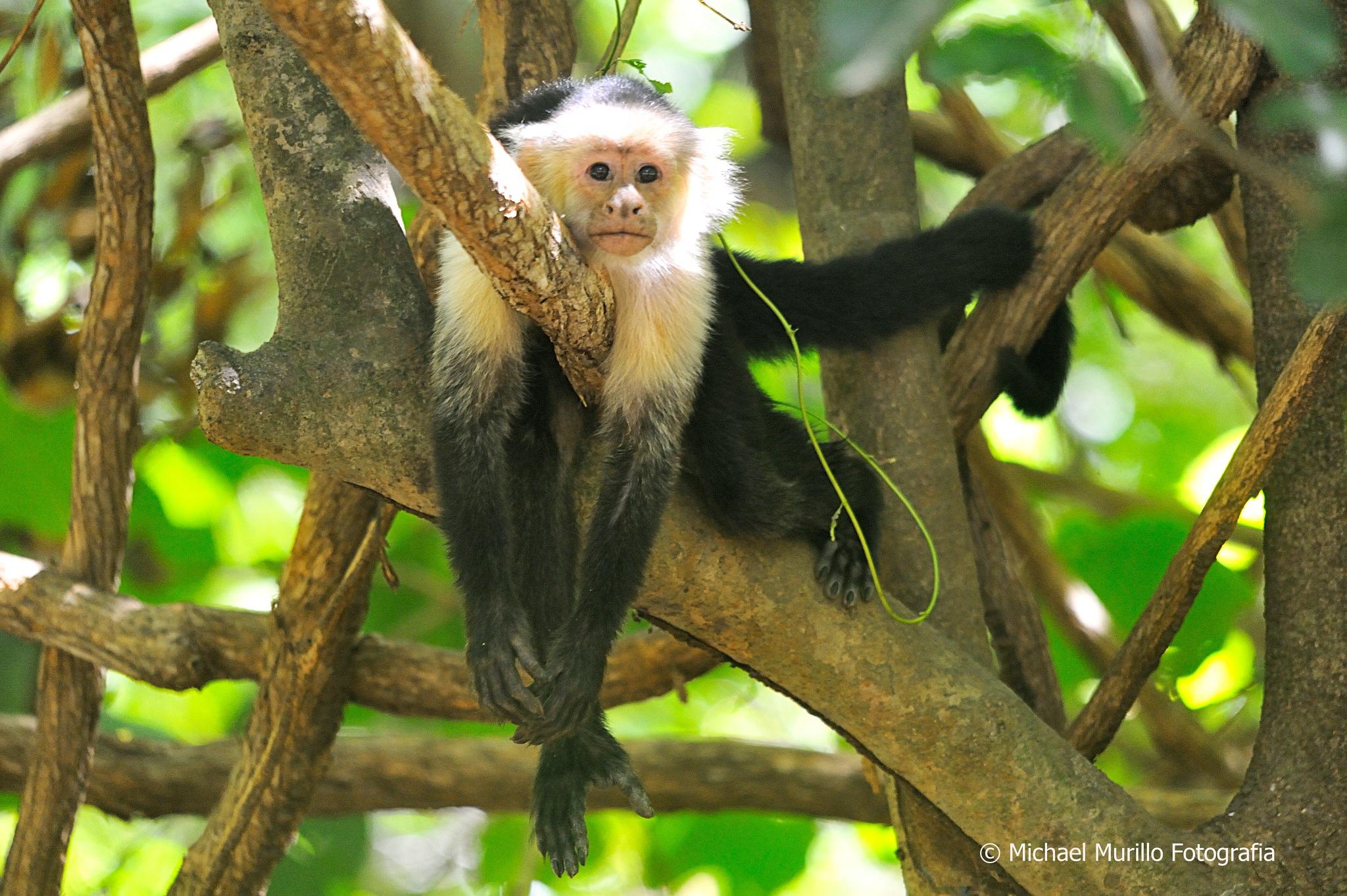 White- Throated Capuchin Monkey by Michael Murillo Rojas