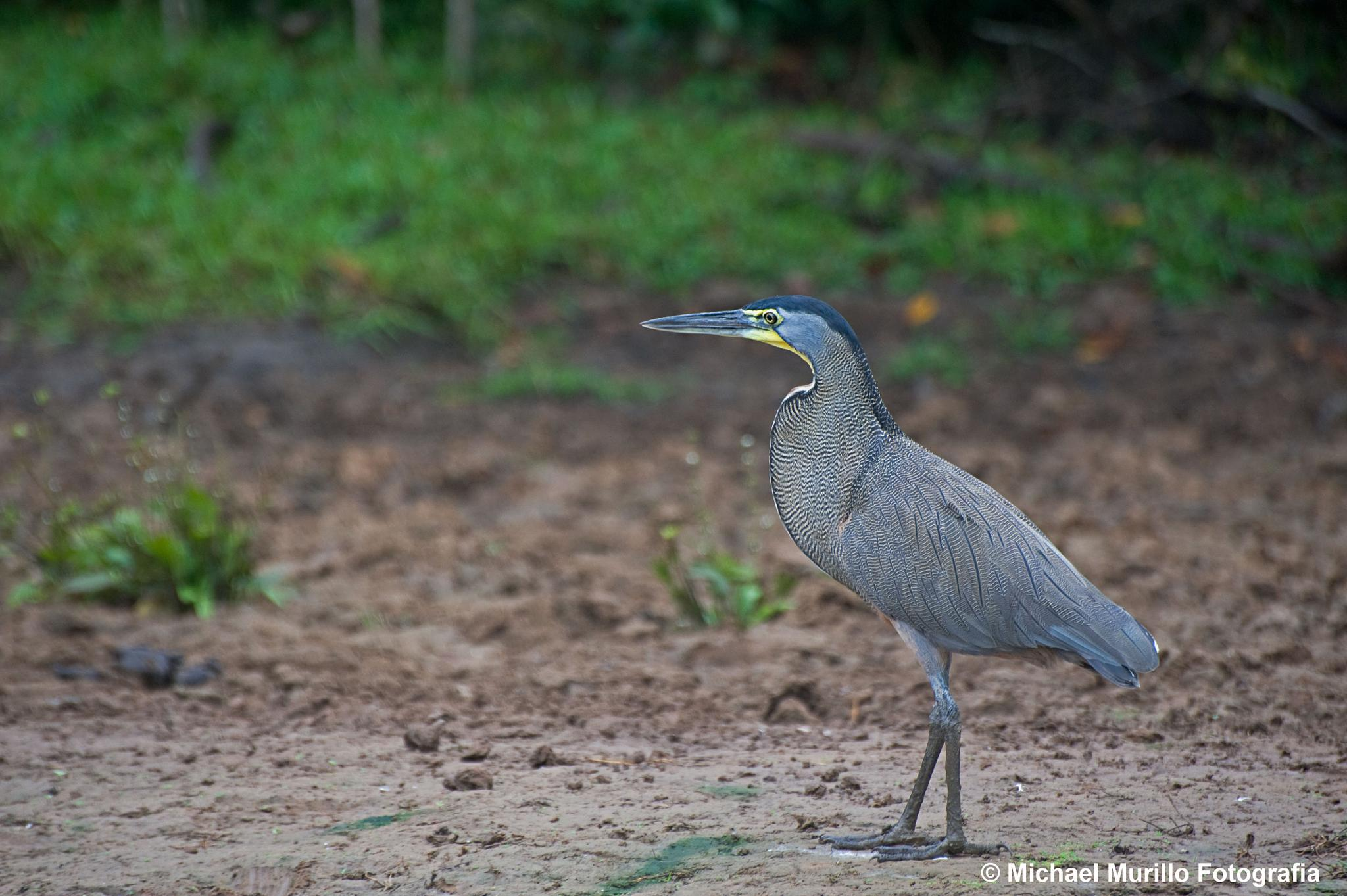 Bare throated Tiger-Heron (Adul) by Michael Murillo Rojas