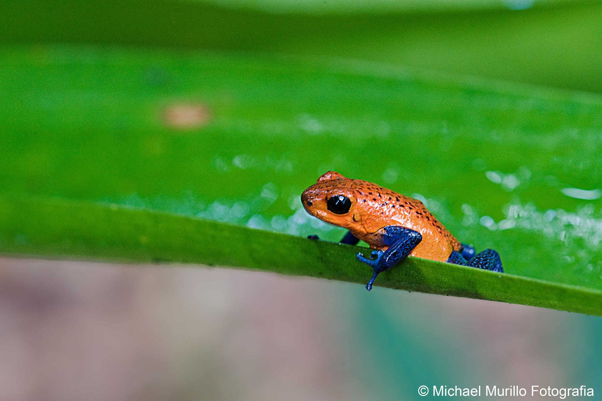 Blue-jeans Frog by Michael Murillo Rojas