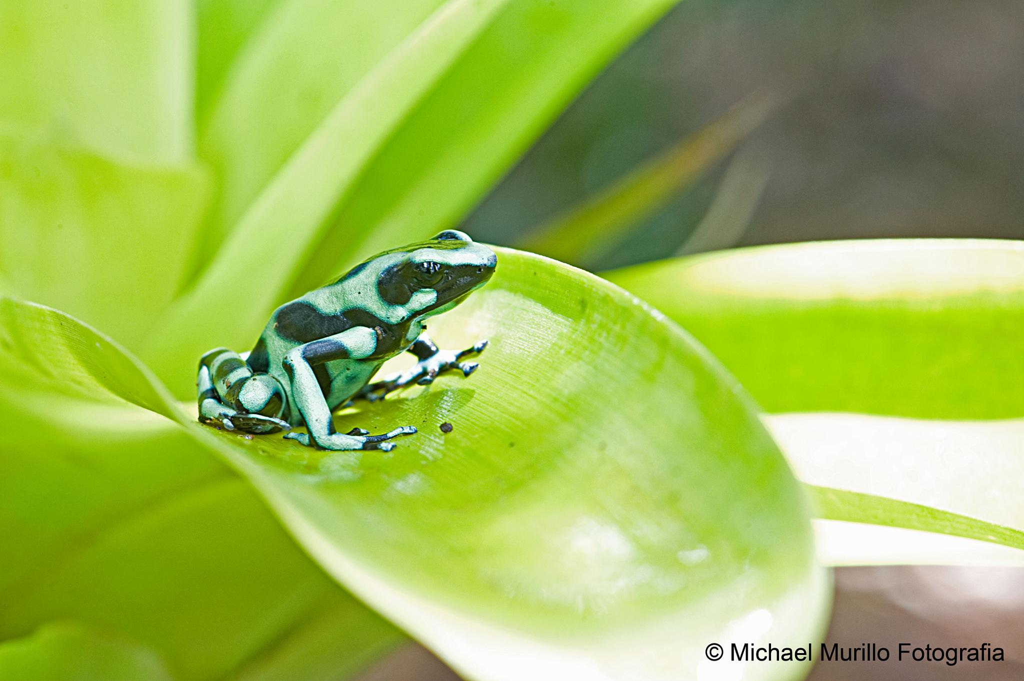 Green and black poison dart frog  by Michael Murillo Rojas