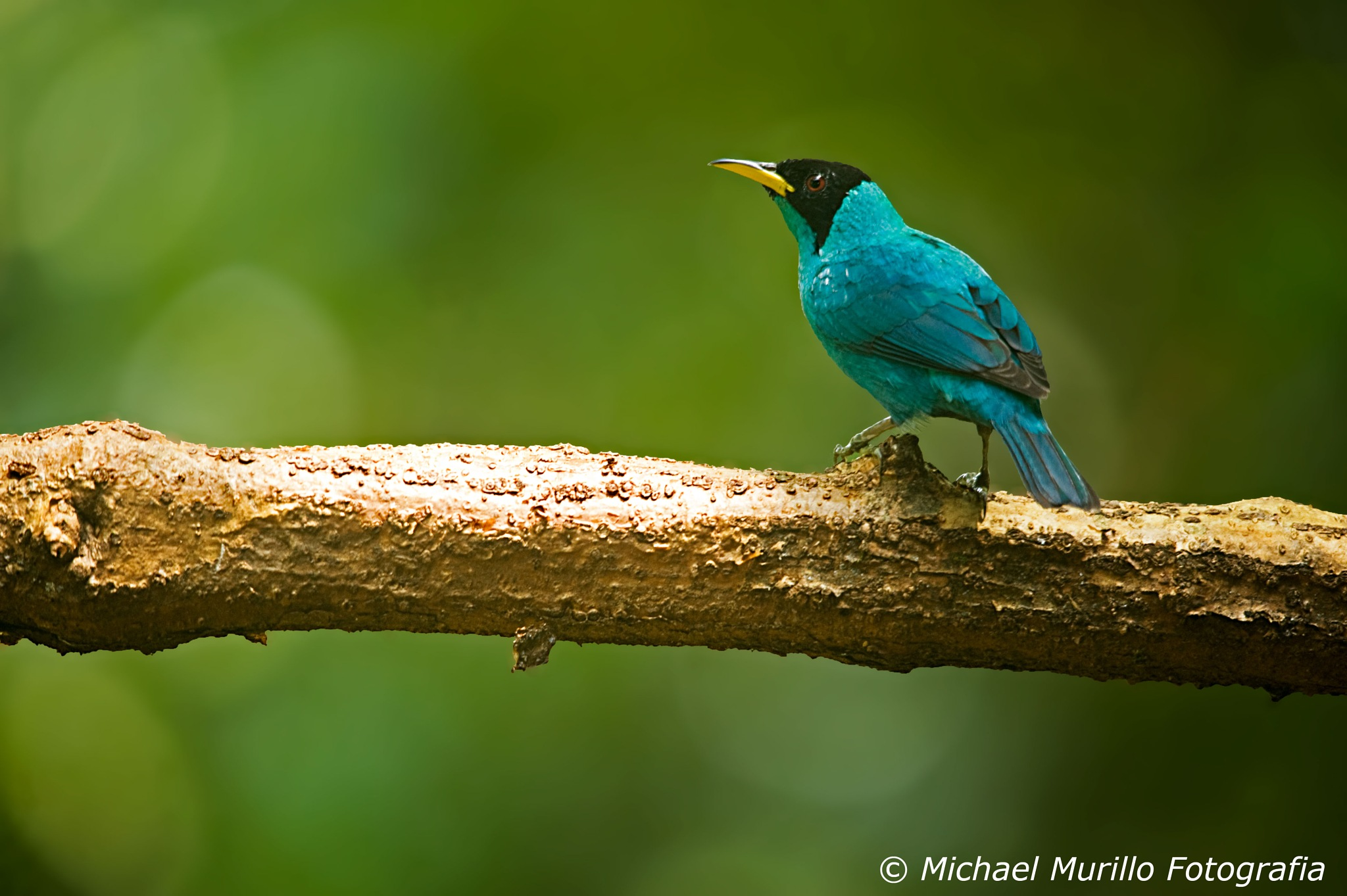 Green Honeycreeper by Michael Murillo Rojas