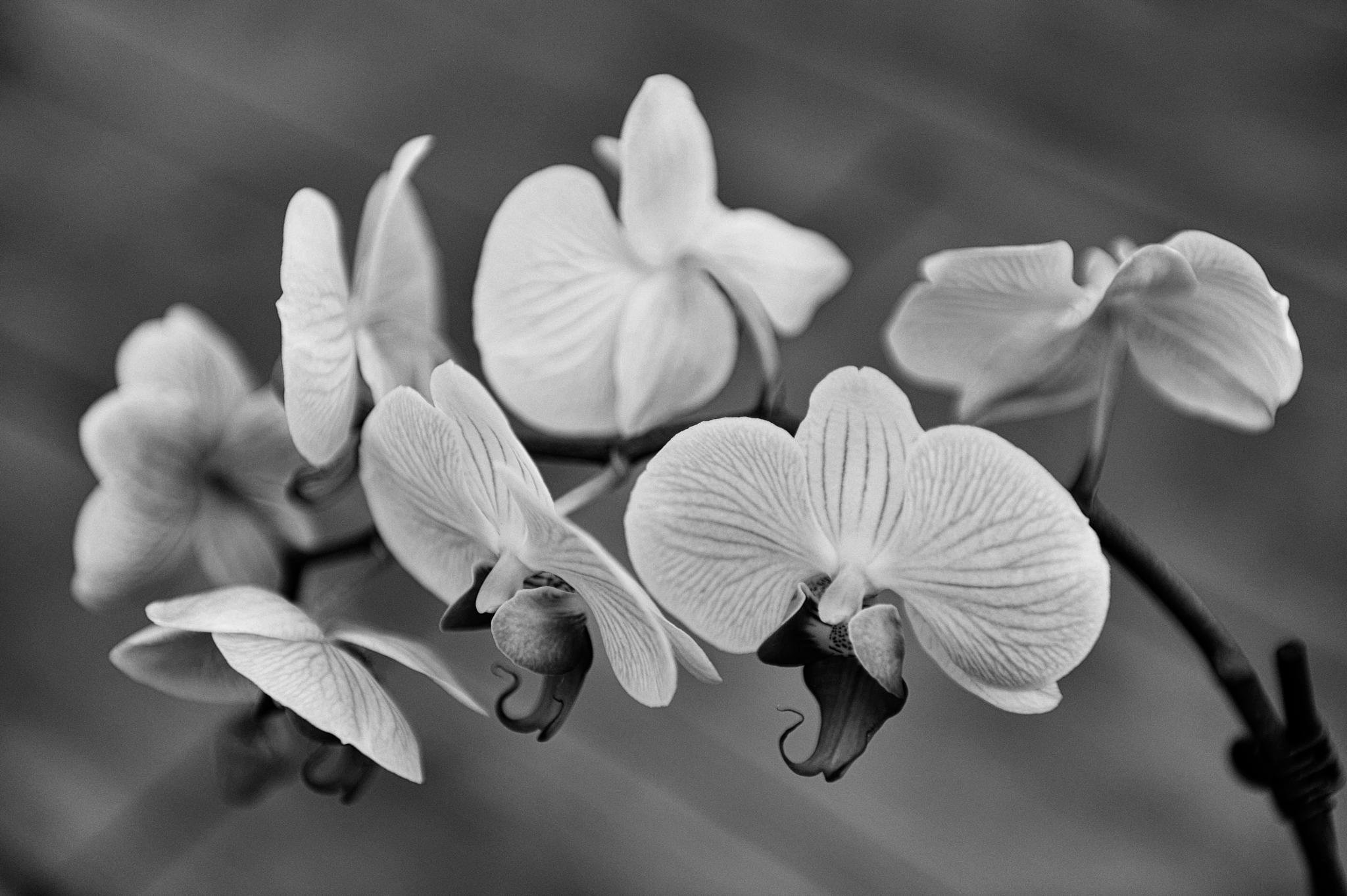 Orchid - B&W, Dallas TX by forrest fotography